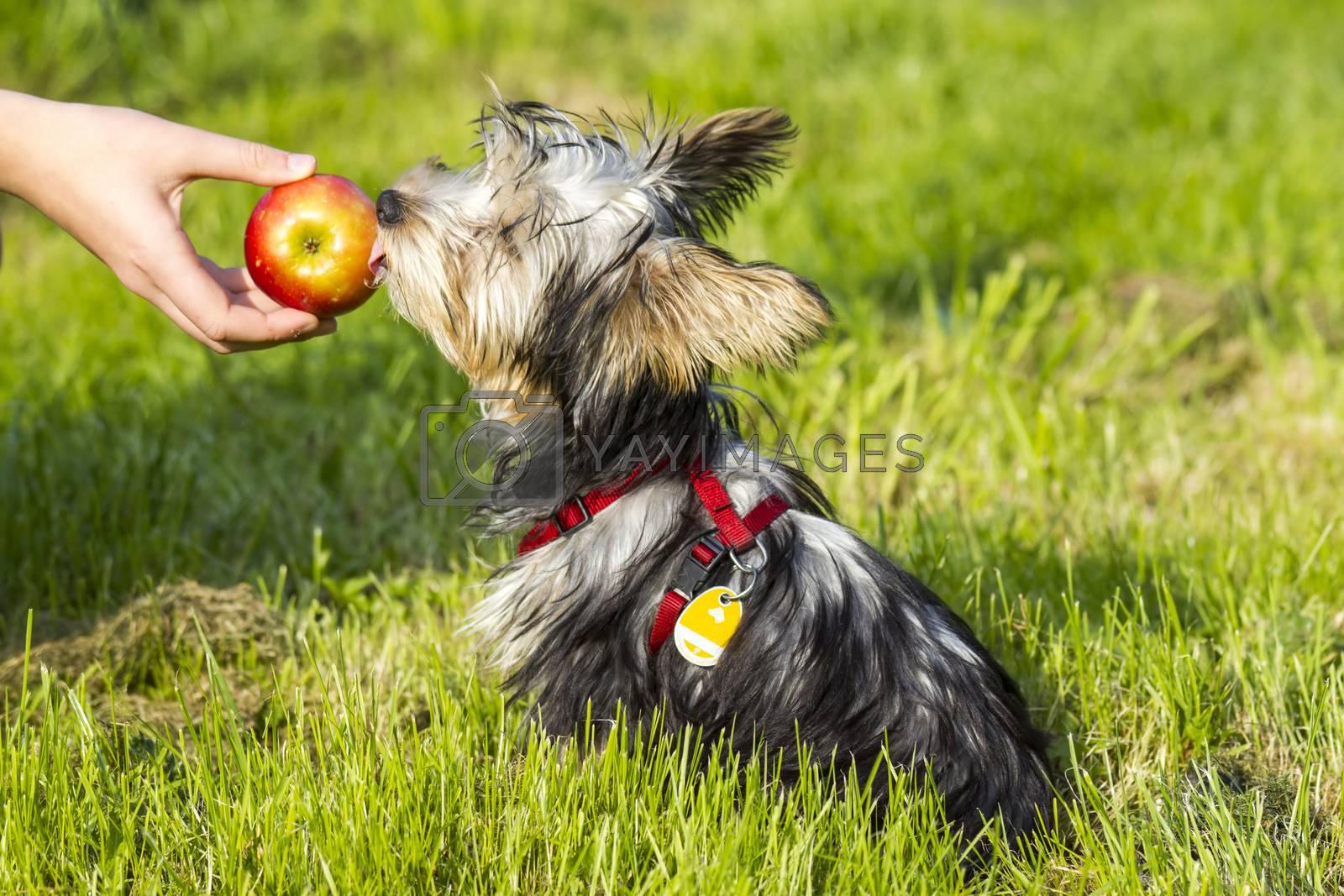 yorkshire terrier is eating apple