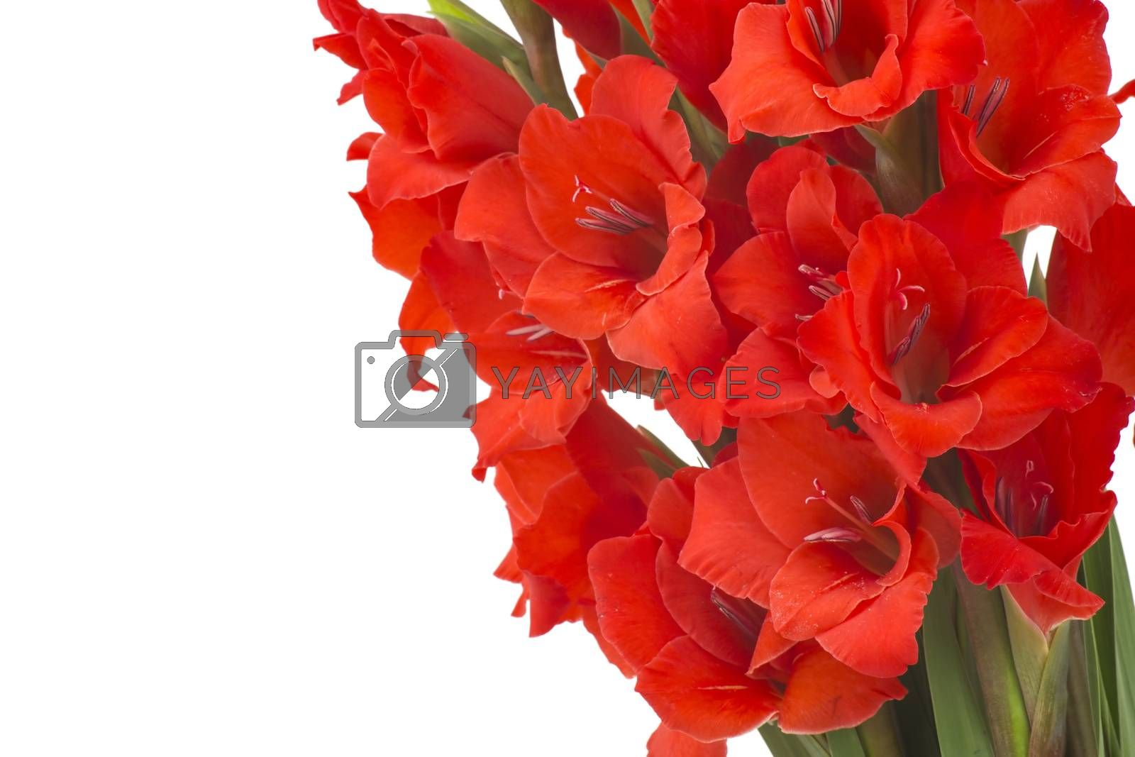 red gladiolus flowers on white background
