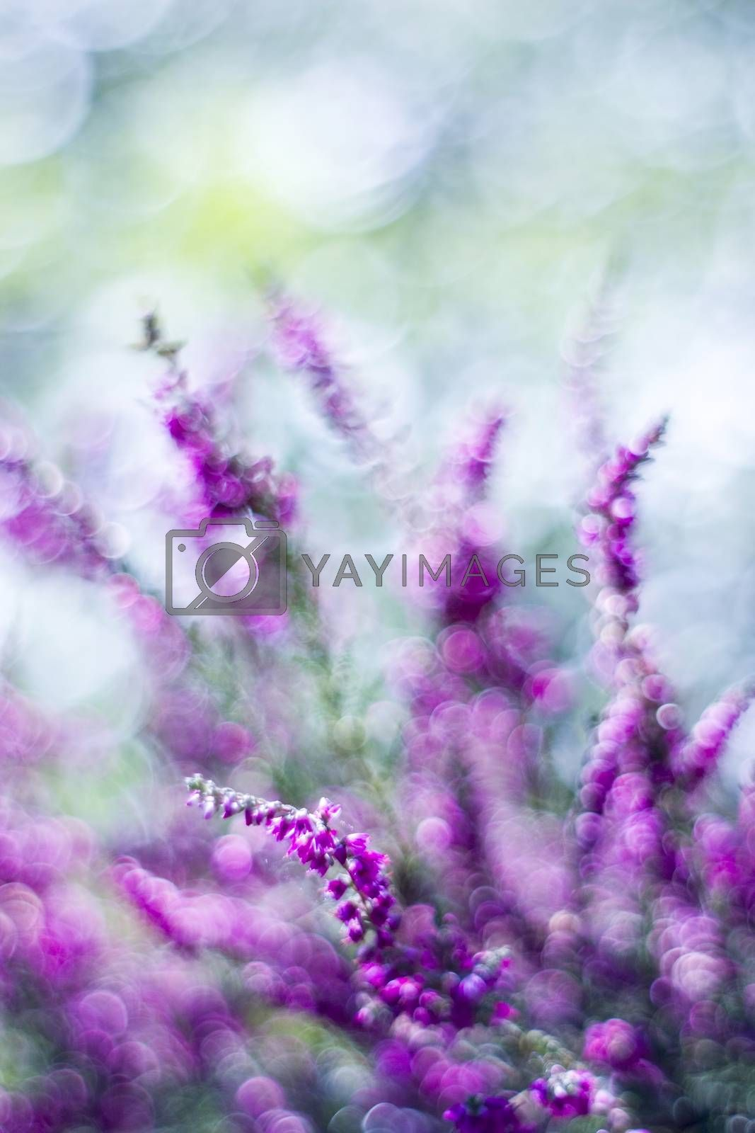 Autumn heather with natural bokeh