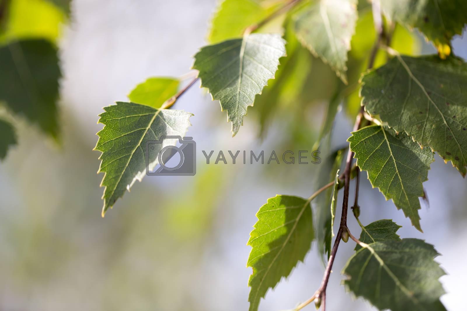 Birch Tree Leaves