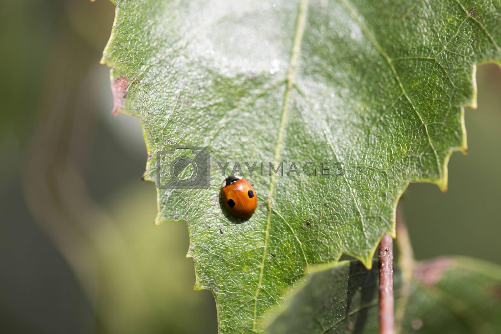 Ladybug on Green Birch Leaf