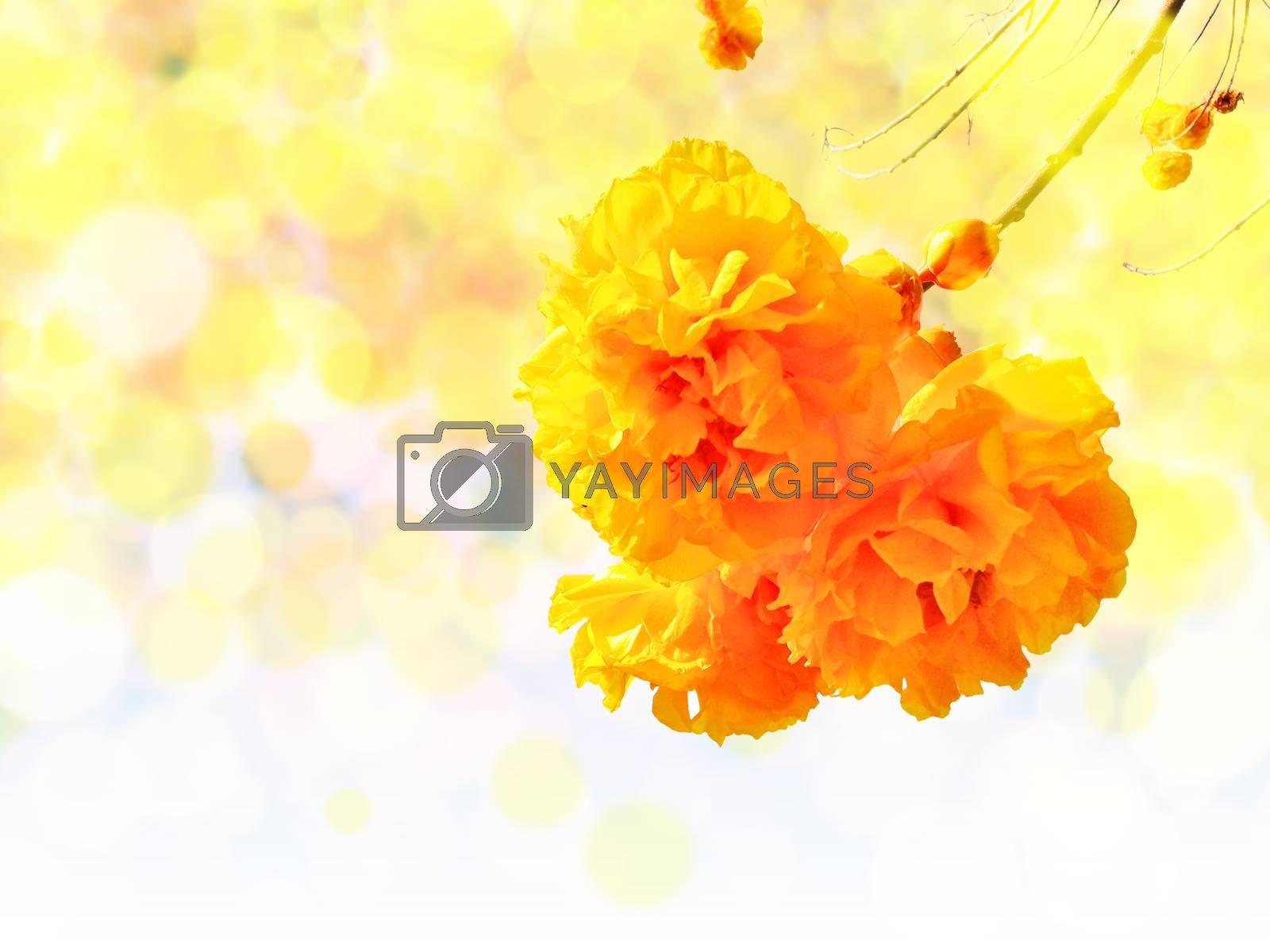 Yellow silk cotton tree flowers on blur and bokeh background