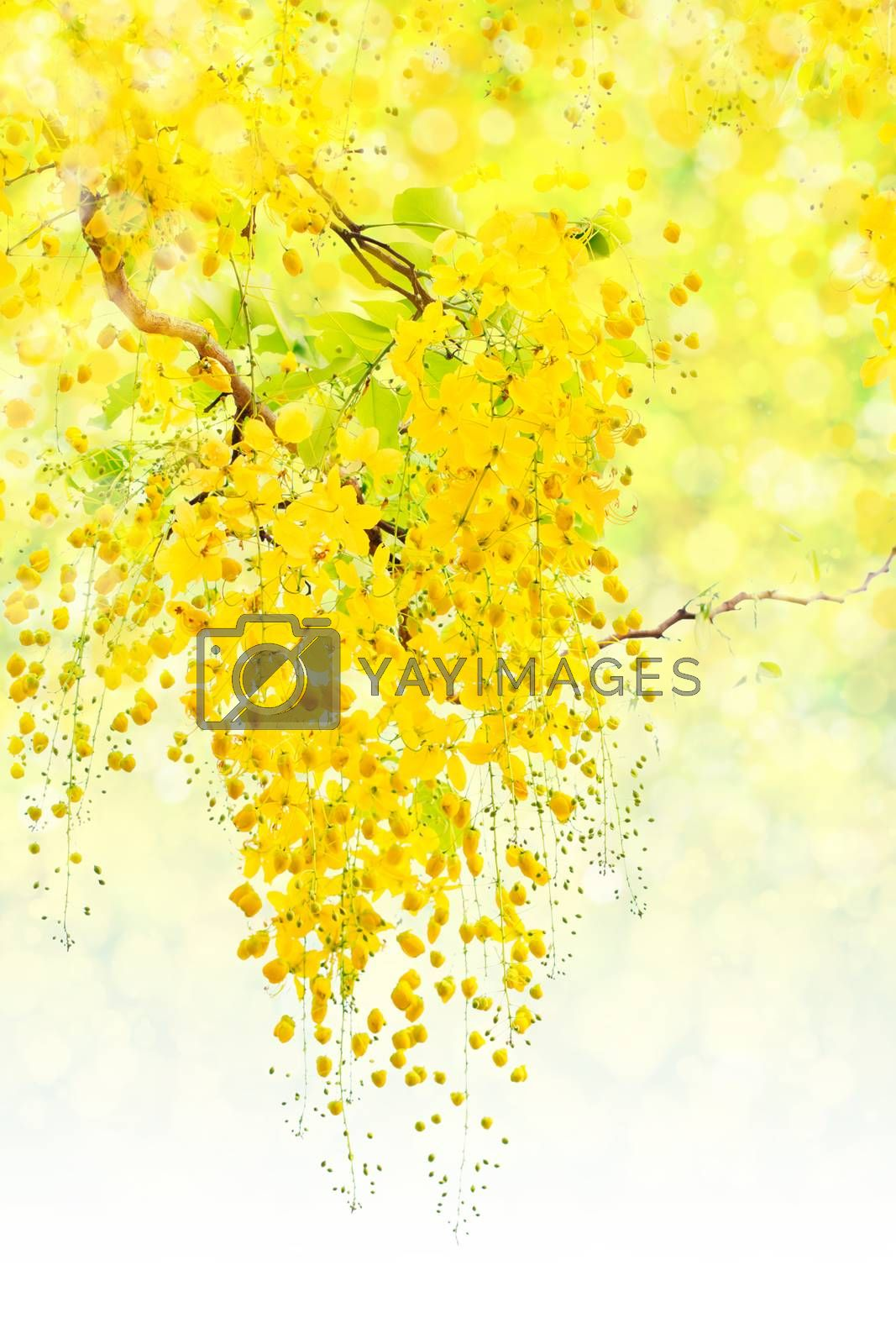 Cassia fistula, beautiful yellow flower on bokeh background