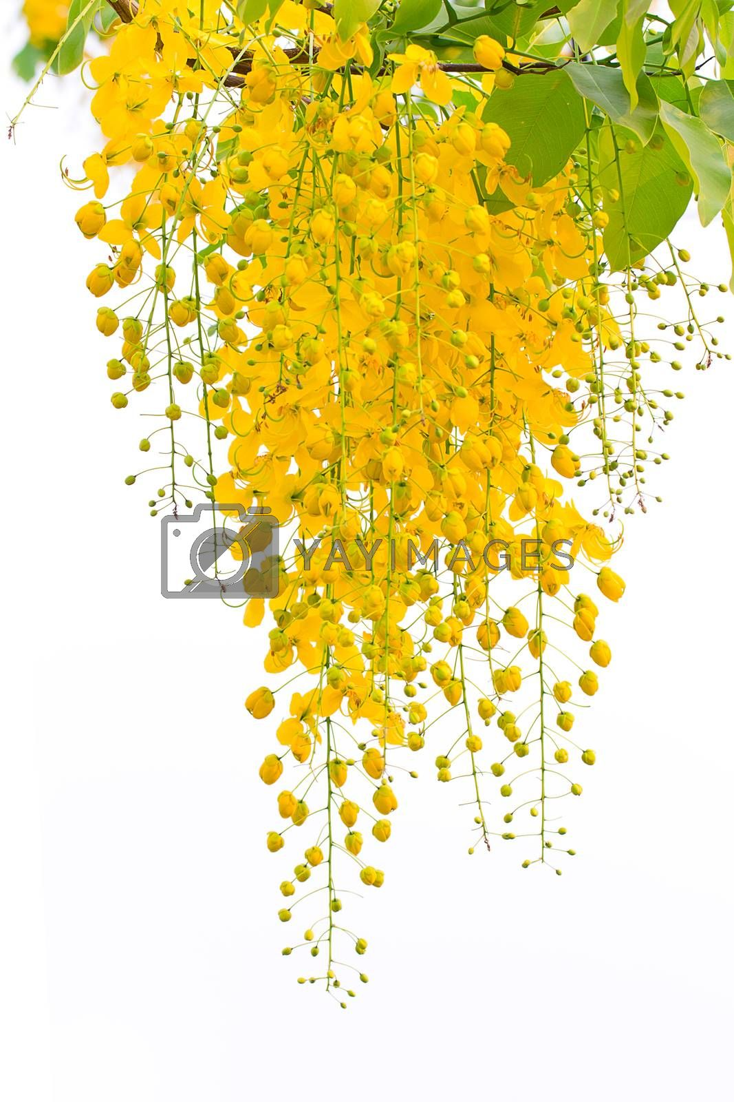 Cassia fistula, beautiful yellow flower on isolated white background