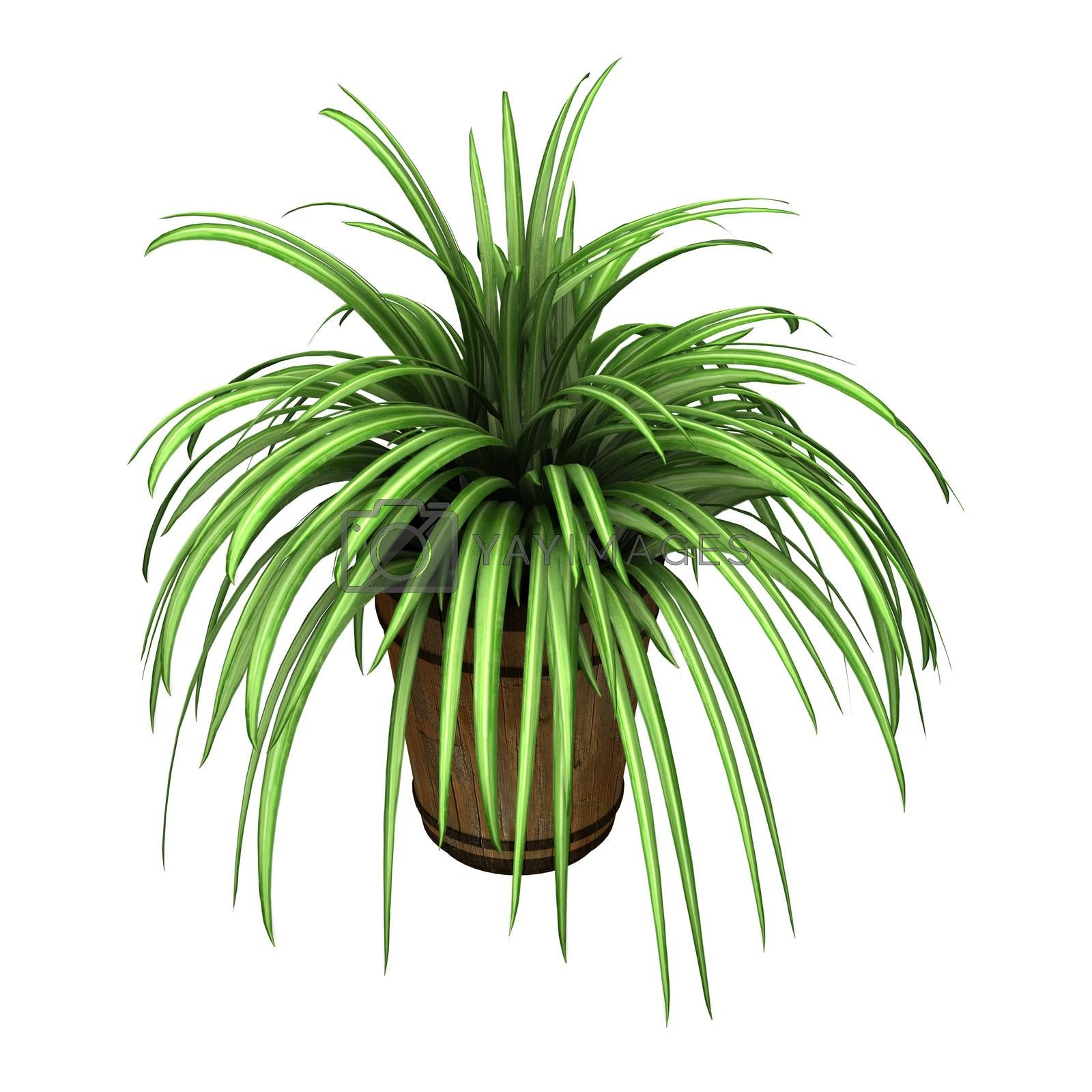 3D digital render of a spider plant in a flower pot isolated on white background
