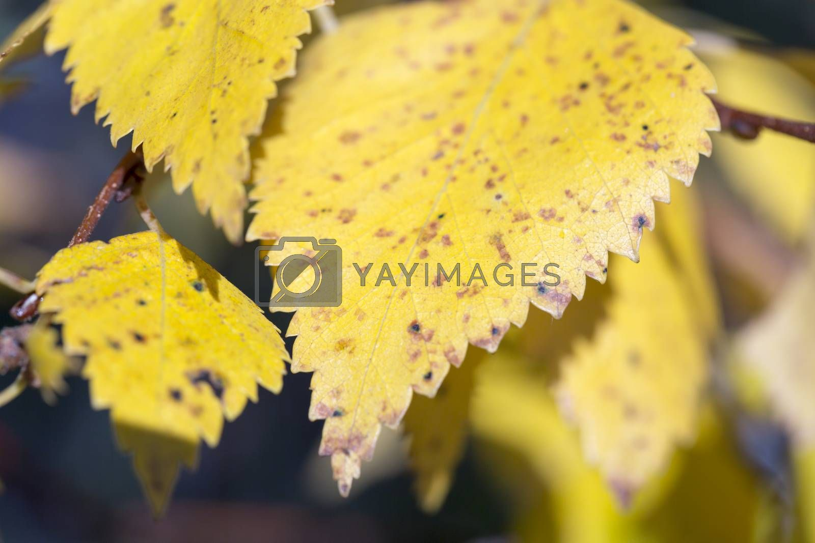 Yellow Birch Leaf Close Up in Fall