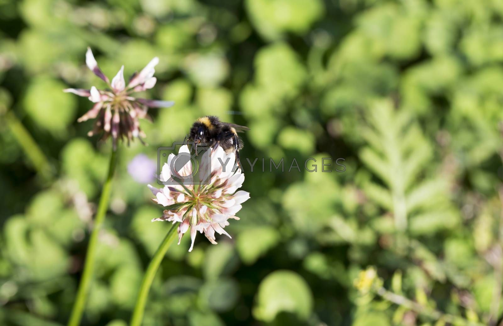 Bumblebee Gathering Nectar from Clover