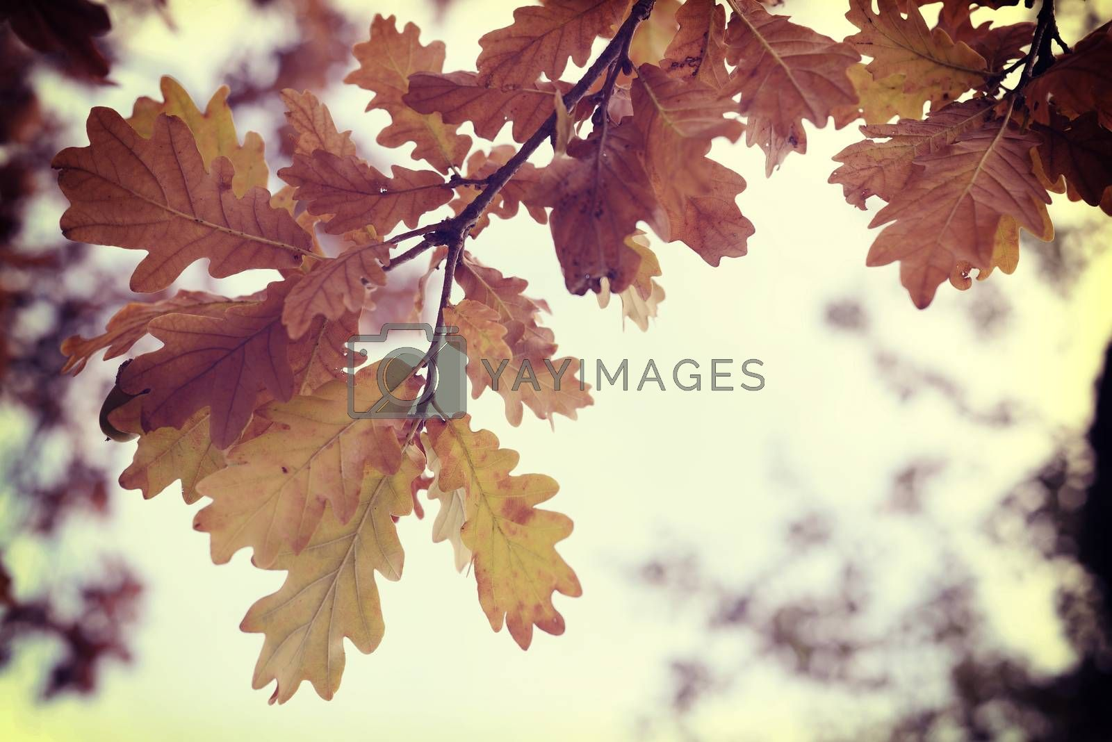 Fall season oak autumn tree leaves close up in sunset background with vintage style filter.