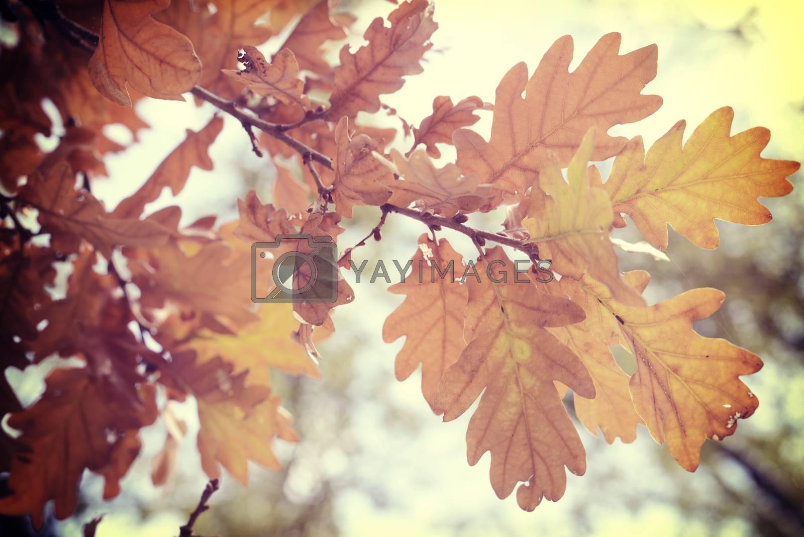 Fall season oak autumn tree foliage branch in warm sun light background with vintage filter.