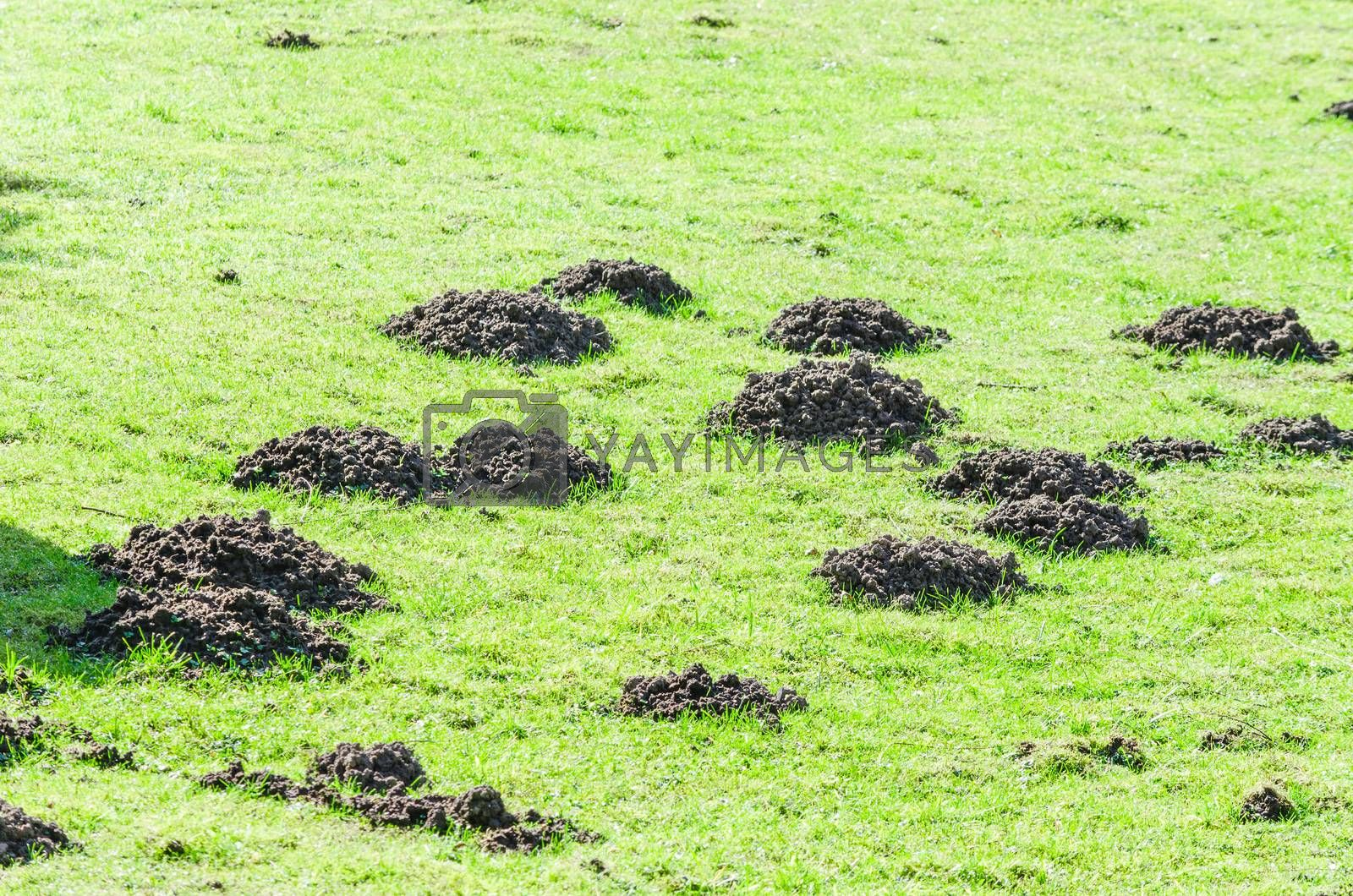 Various molehill on a lawn in the garden.