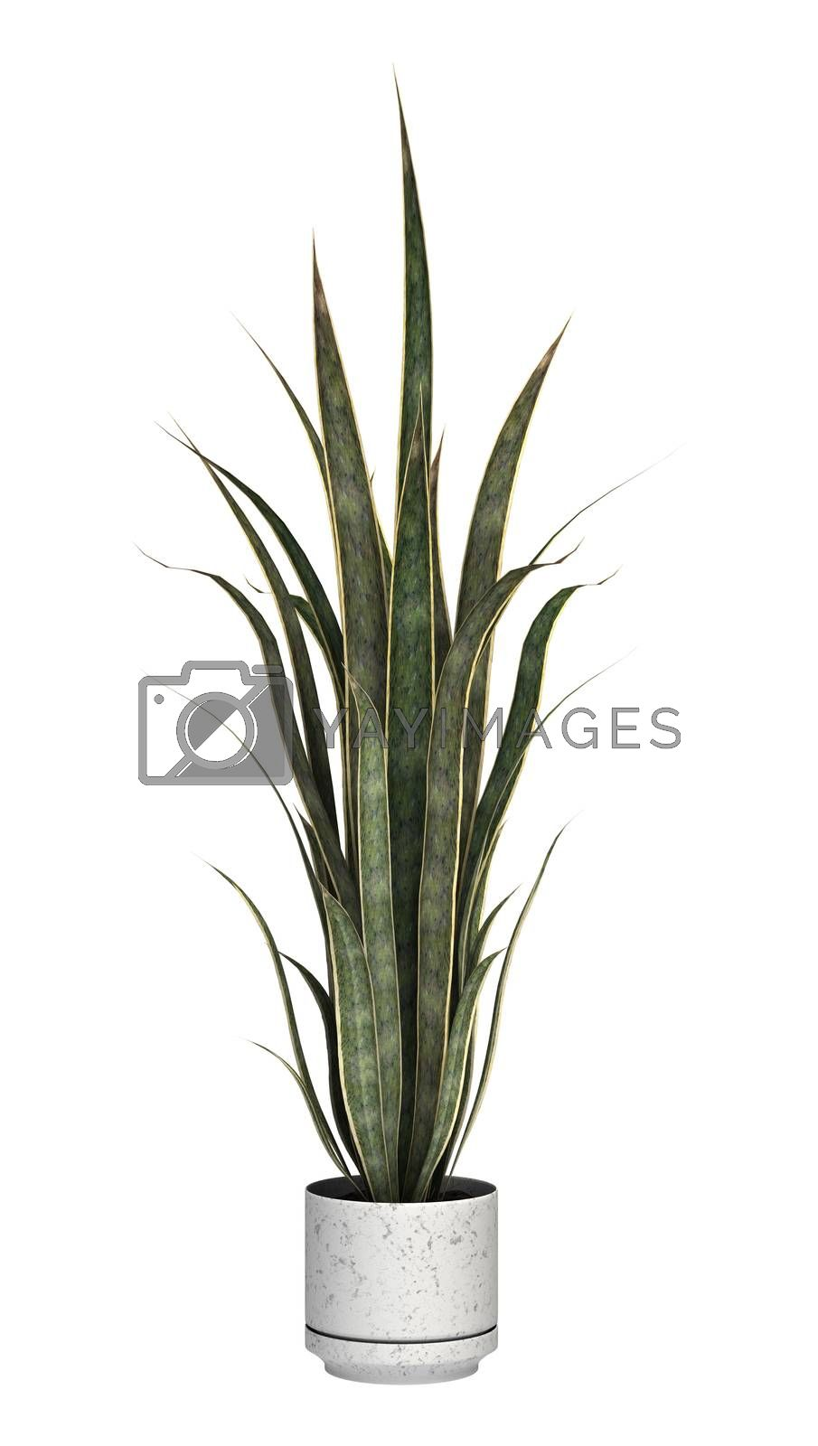 Sansevieria on White by Vac