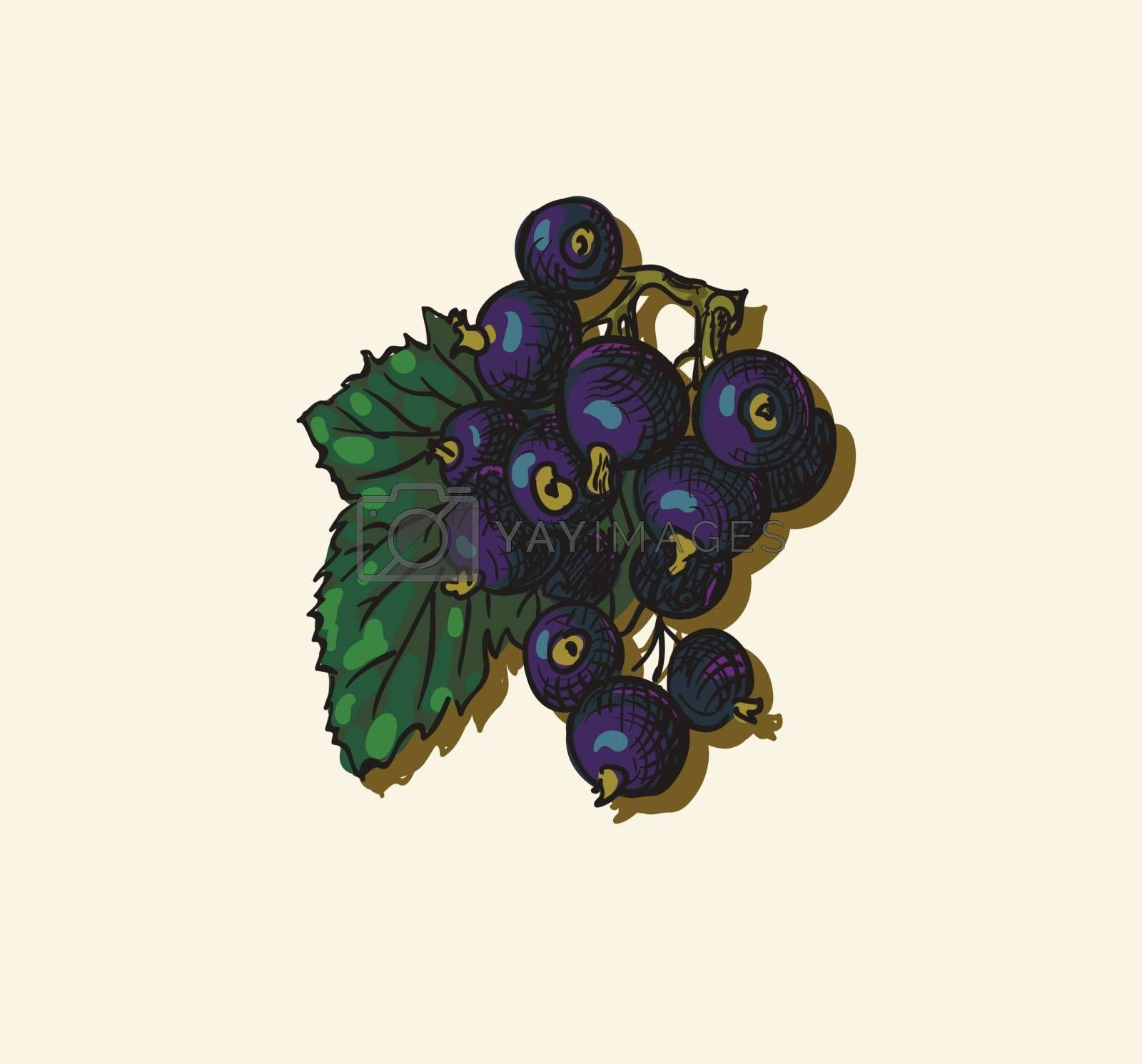 Vector illustration drawing of organic blackcurrant