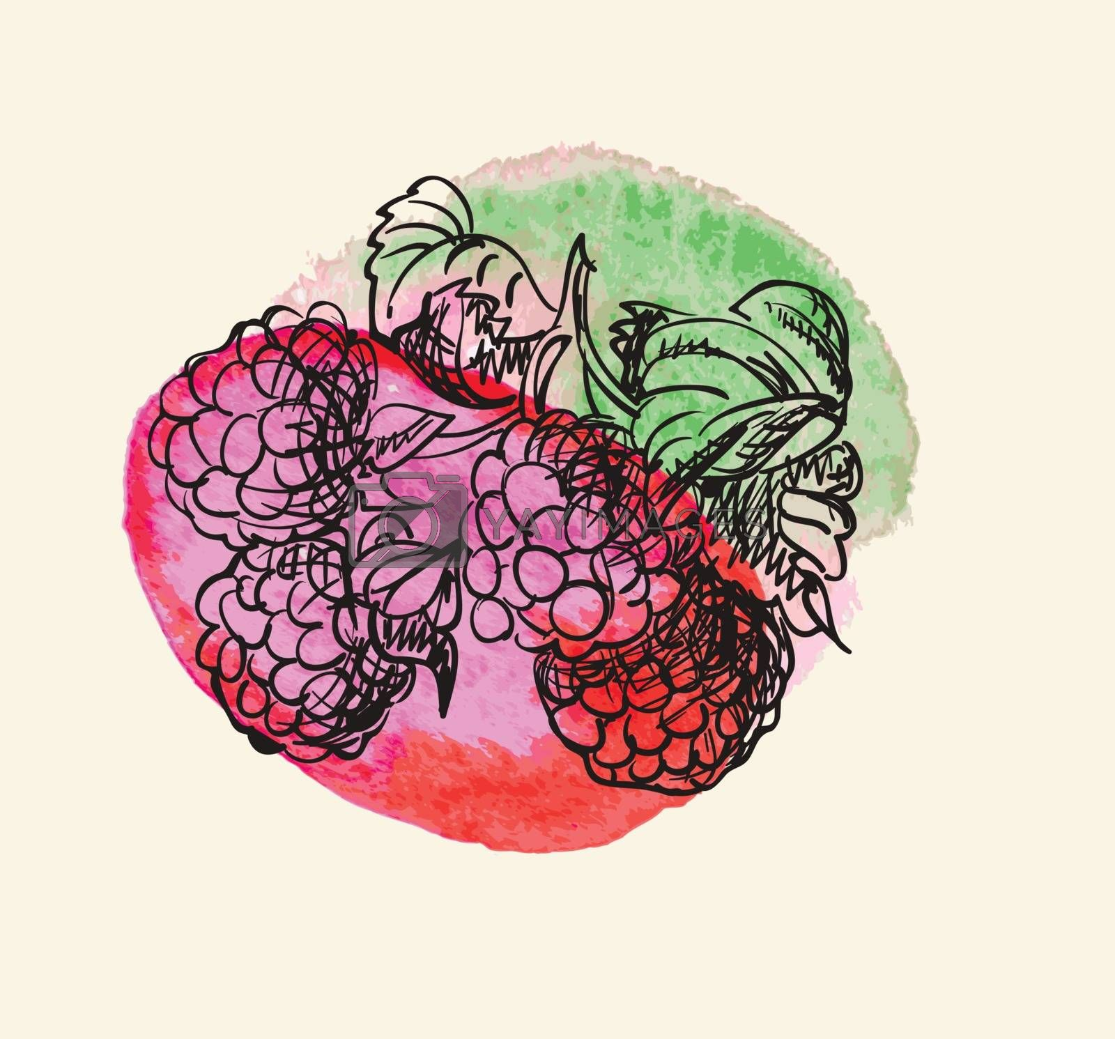 Vector illustration drawing of organic a raspberries