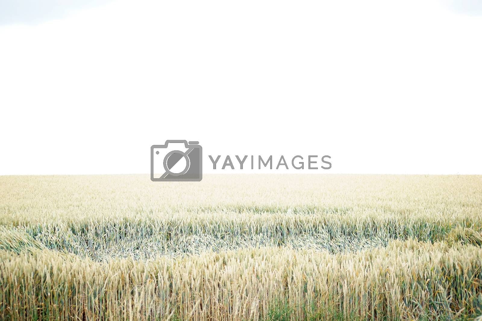 A fresh wheat field with an area of folded-over stalks.