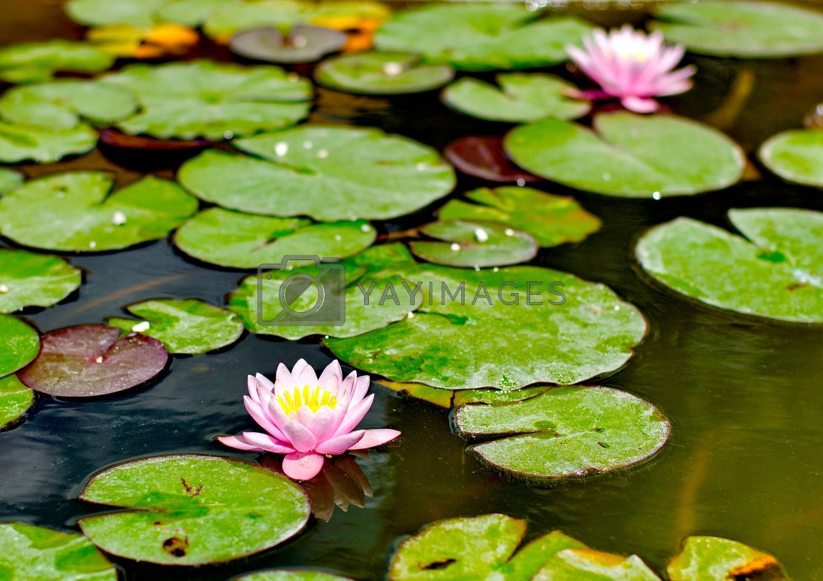 Royalty free image of Purple water lilly by anderm