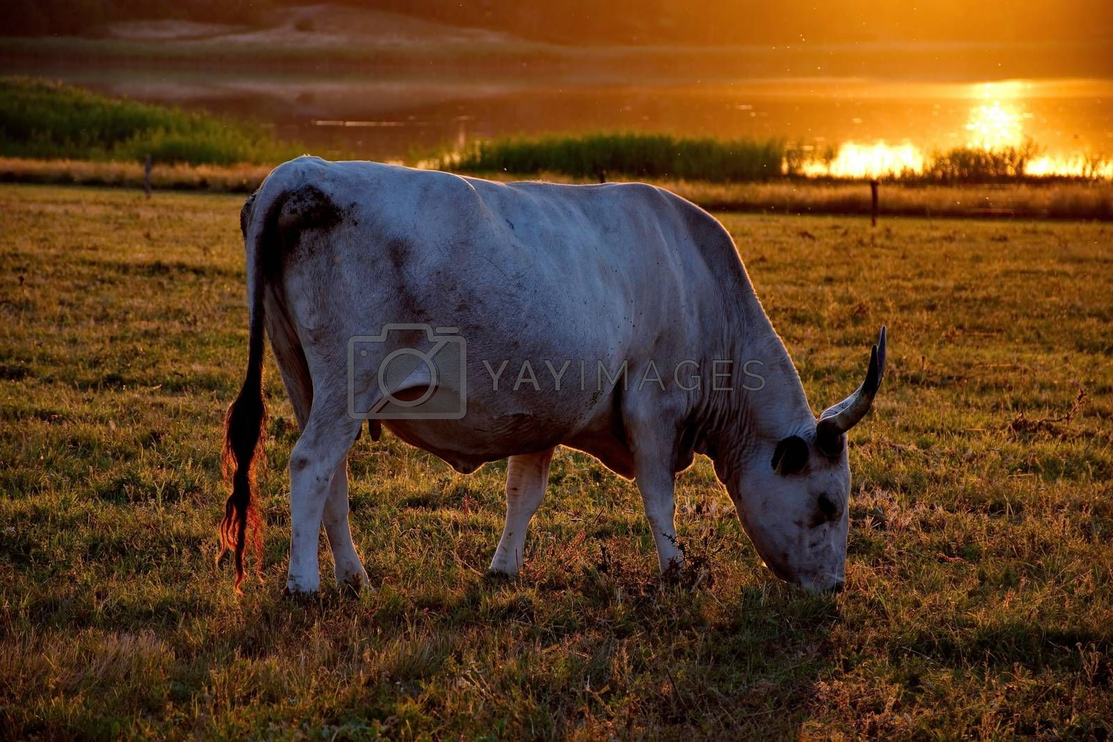 Royalty free image of White cow with big horns in the sunset by anderm