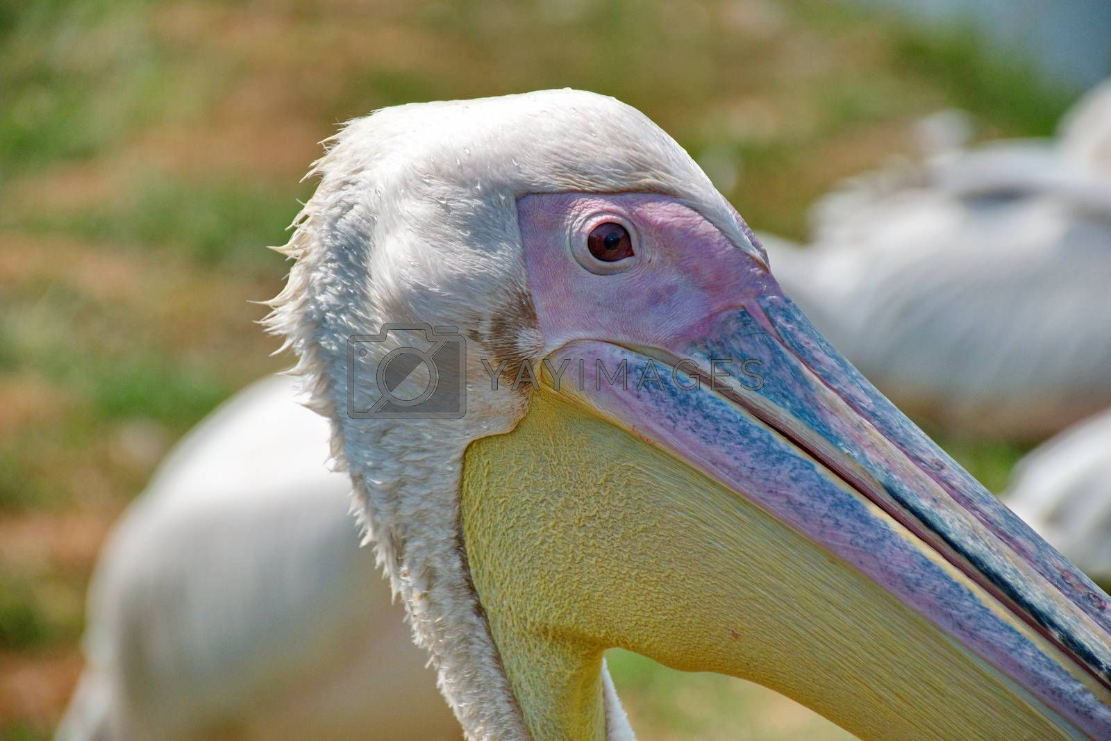 Royalty free image of Pink pelican by anderm
