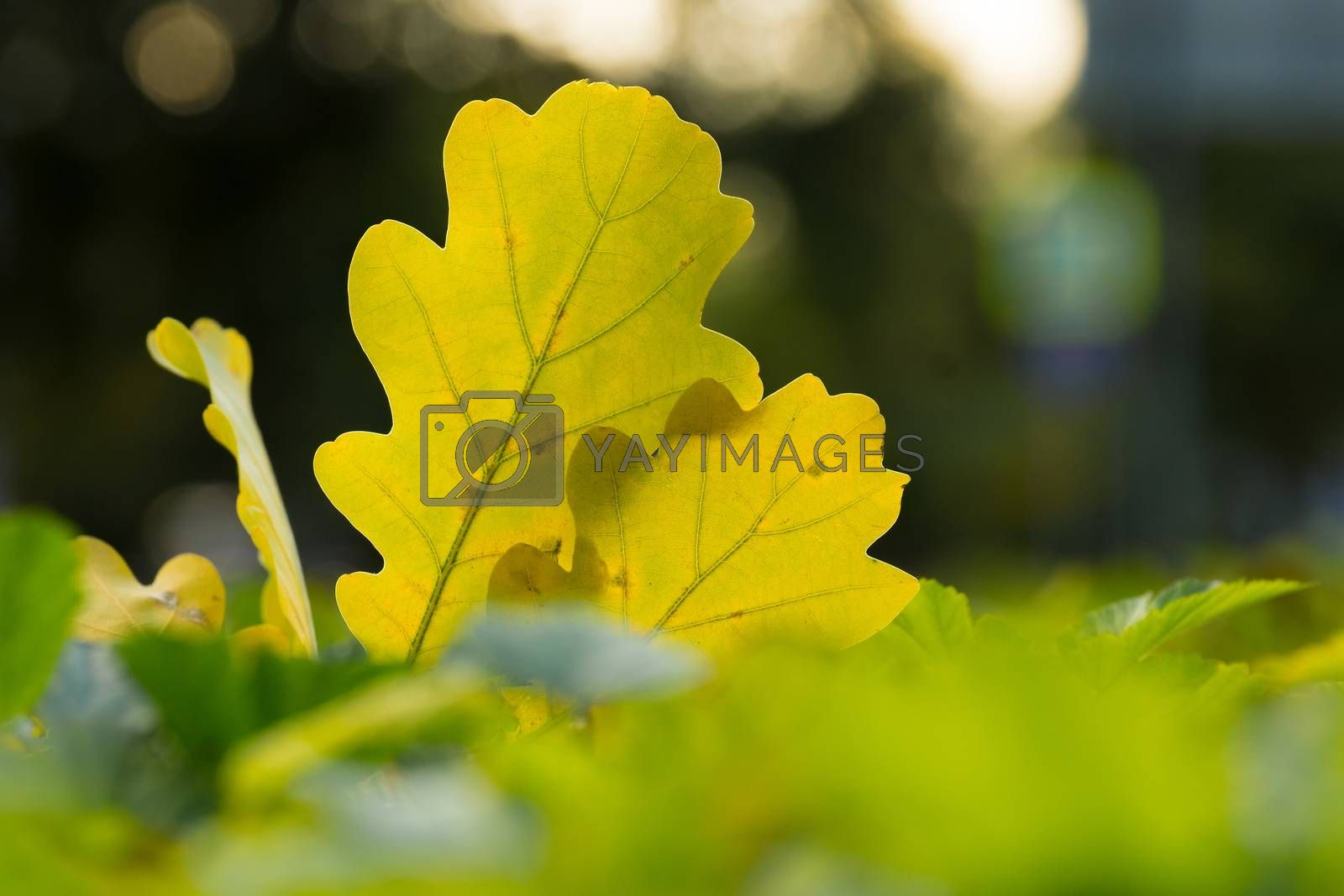 The picture shows the autumn yellow leaves on the bush.