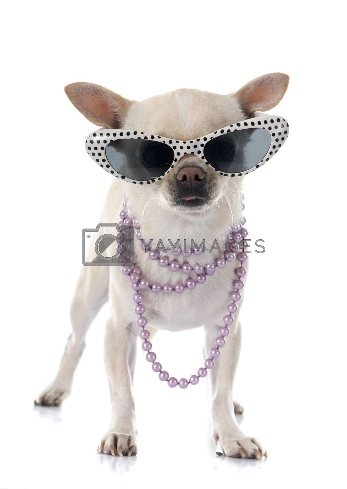 chihuahua in summer in front of white background