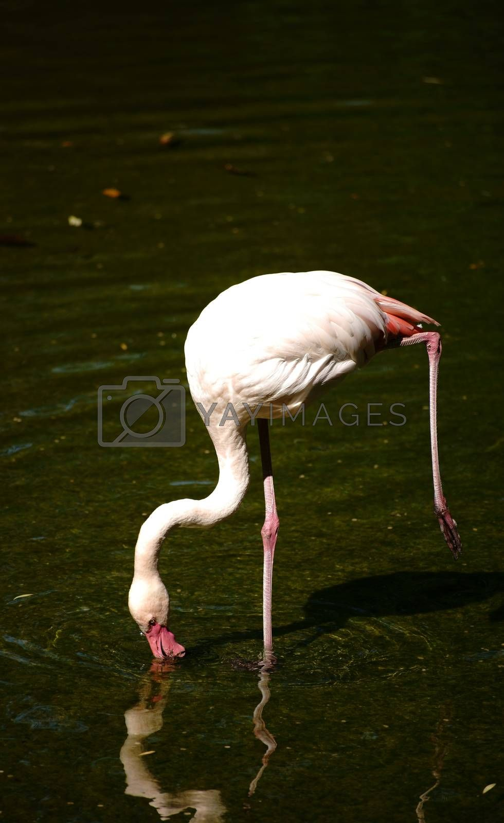 A pink flamingo standing on one leg and is reflected in the water.
