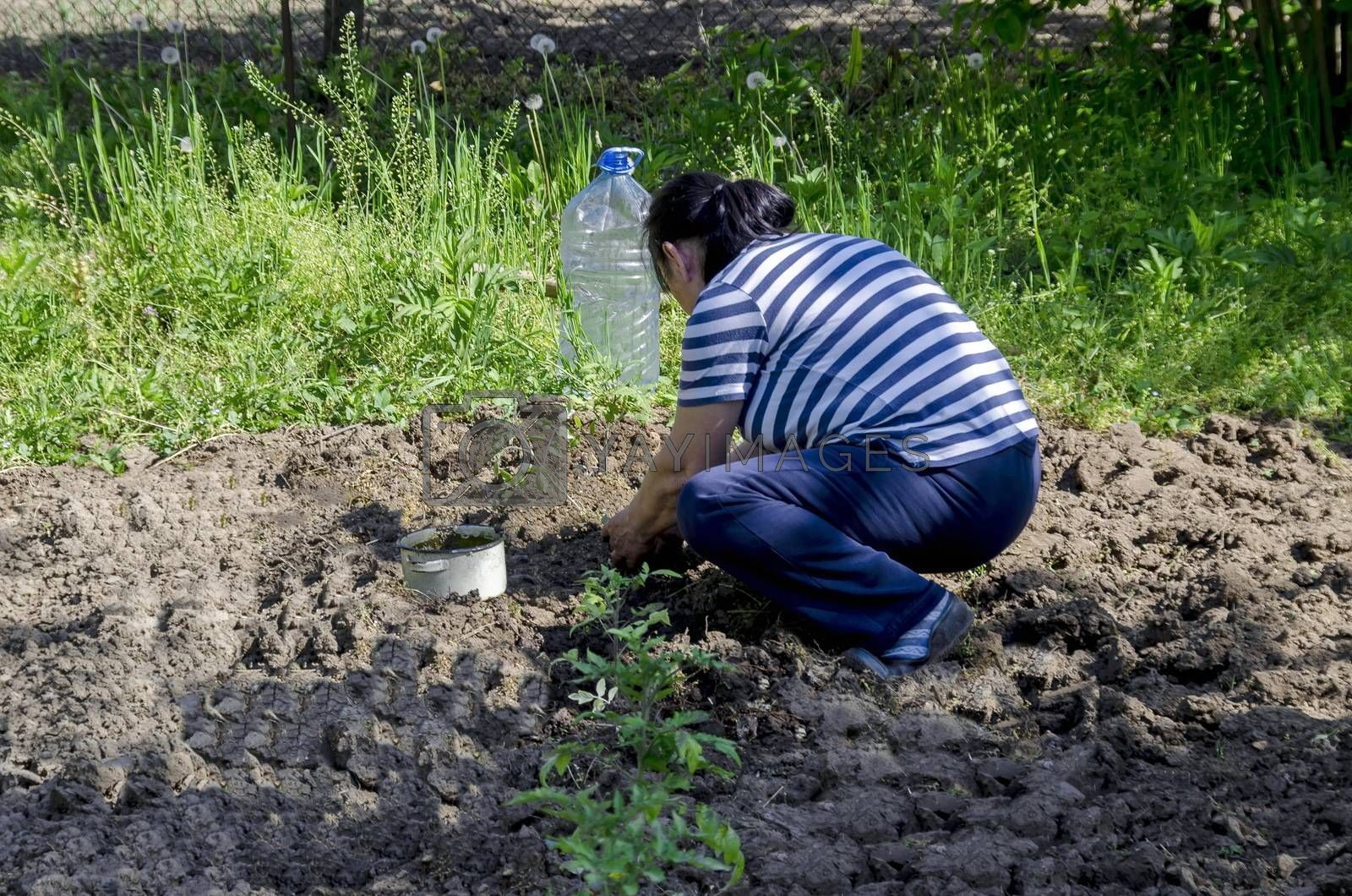 Organic farming of tomato in green house. Hands holding seedlings put  in the hole, Bulgaria