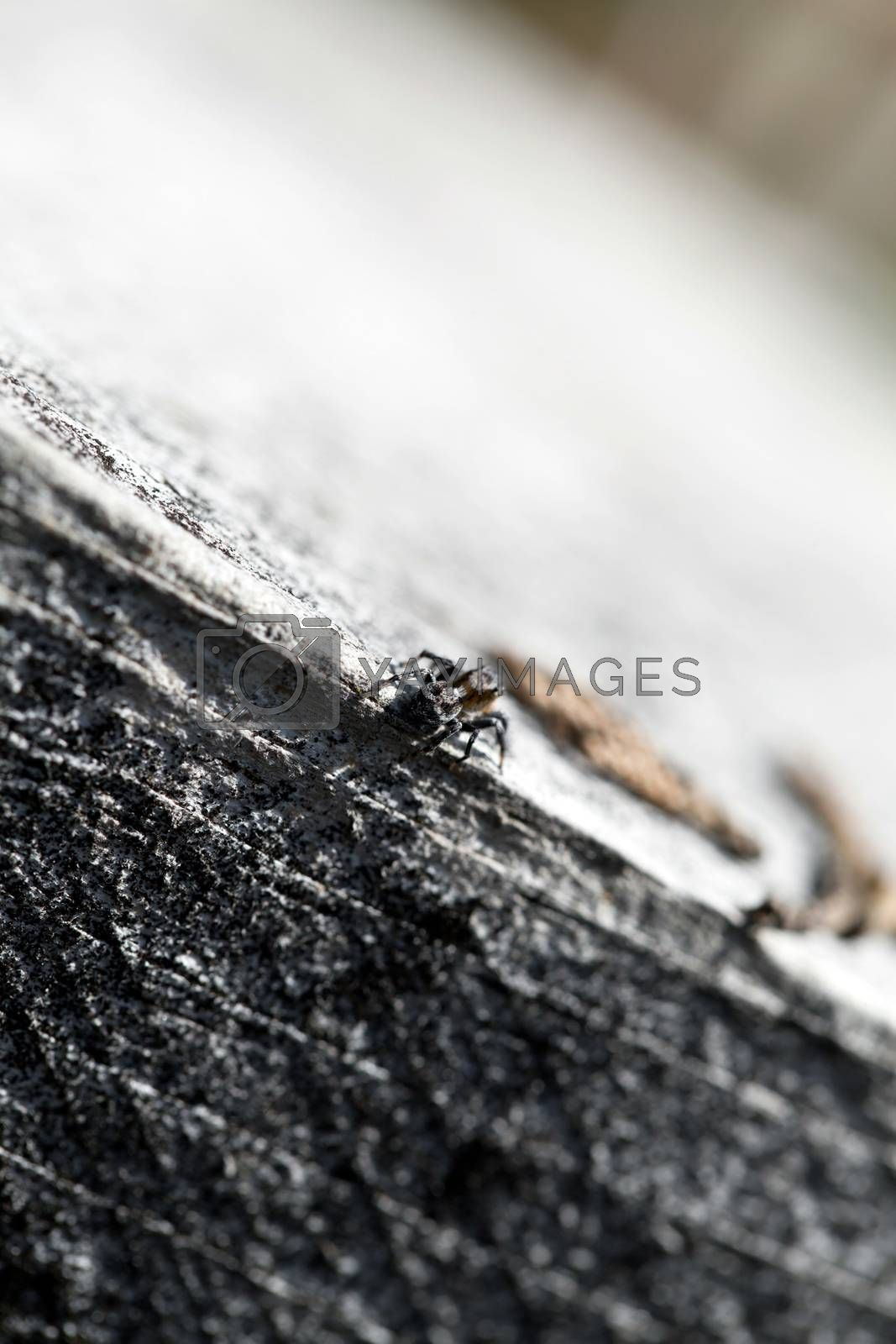 Zebra Jumper Spider by graficallyminded