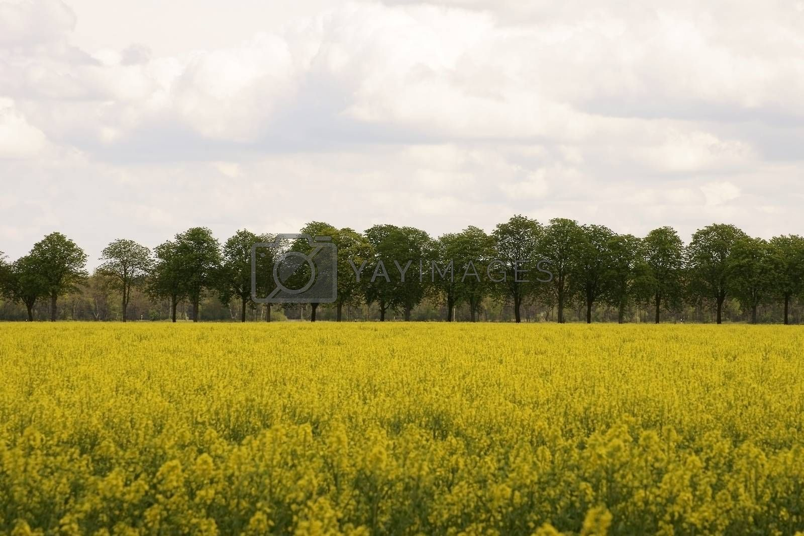 A tree-lined avenue of chestnut trees behind a yellow rapeseed field.