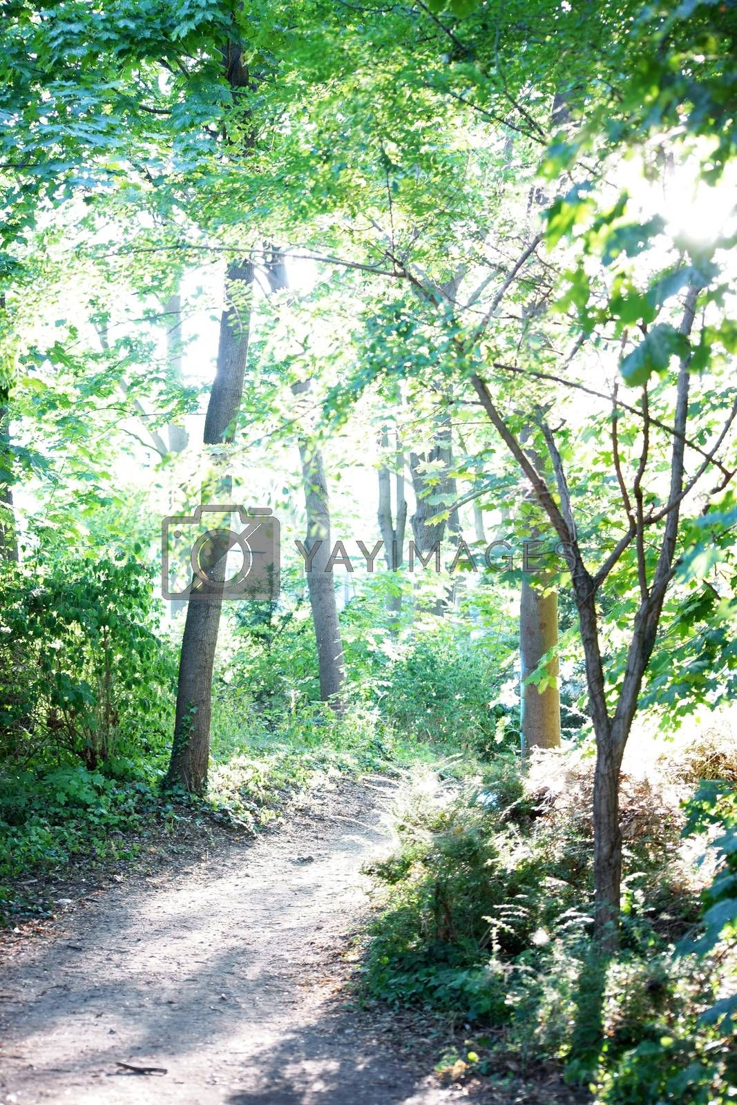 A with sunlight flooded narrow forest path.