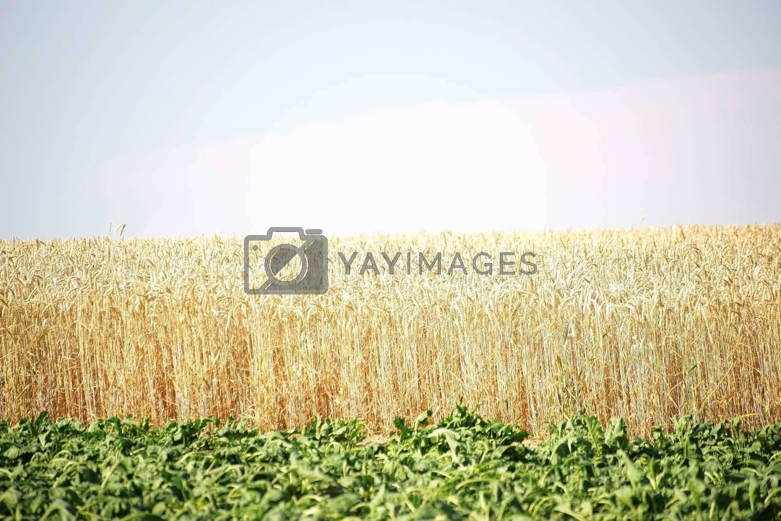 A field with green leaves of sugar beet, which withered by the drought in front of a cornfield with dried corn stalks.
