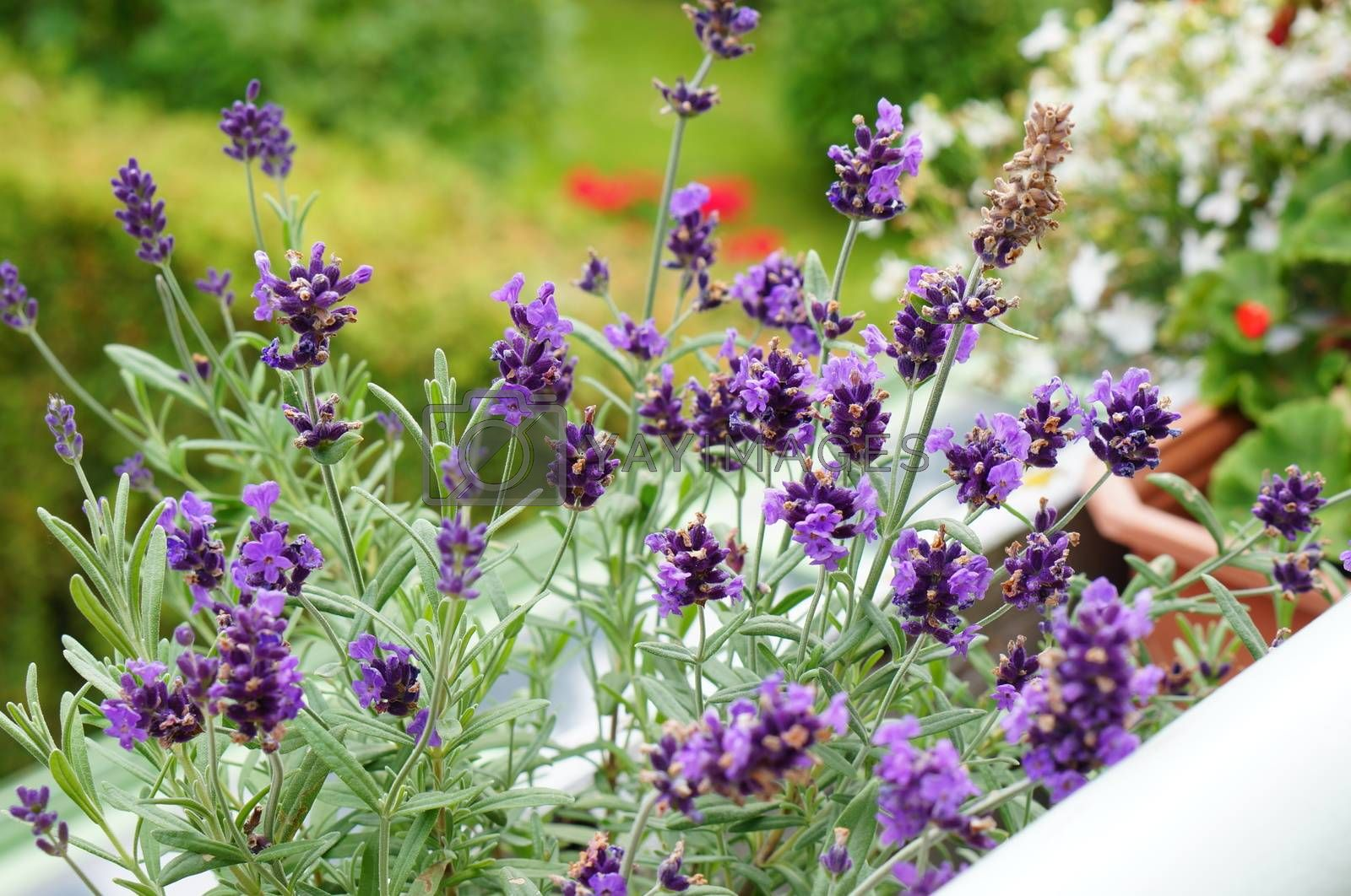 Group of purple lavendel flowers in the garden
