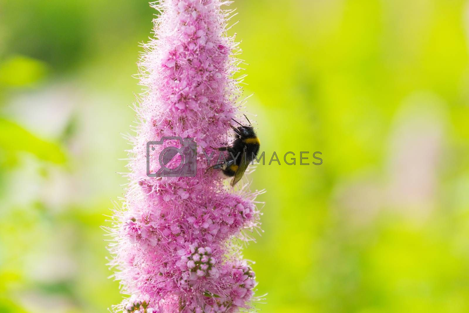 The photo shows a bumble bee on a flower