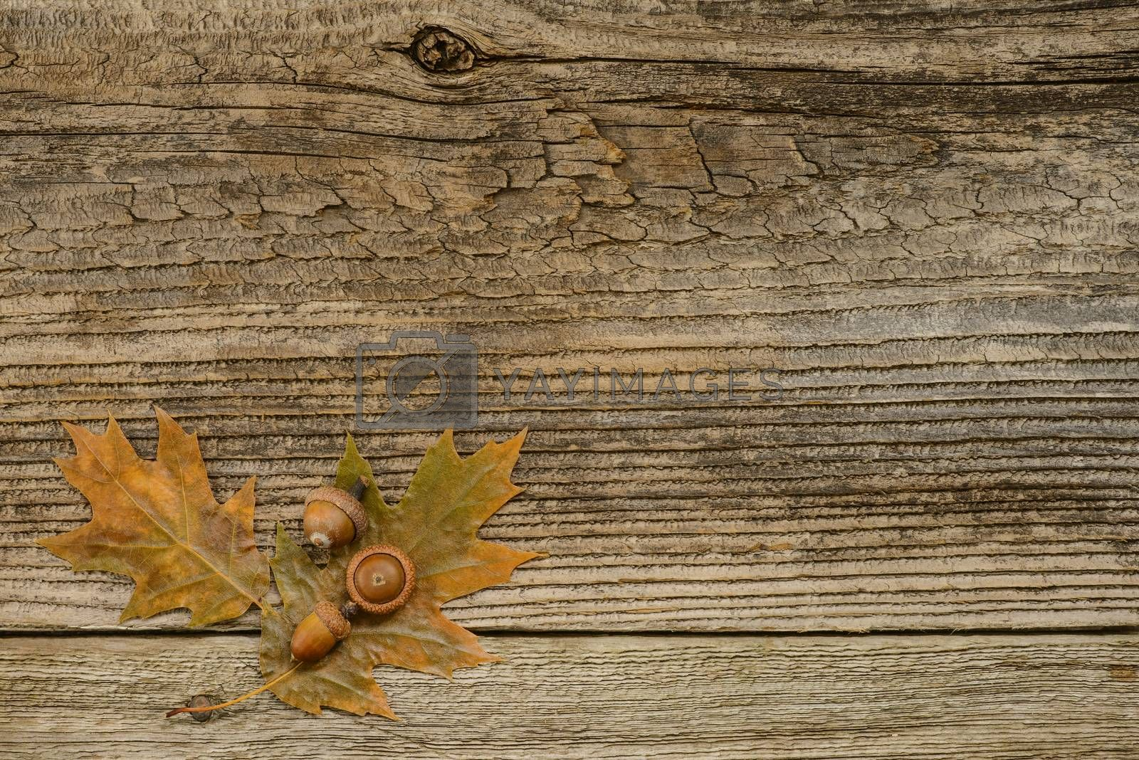 Oak leaves and acorns on a weathered barnboard background.