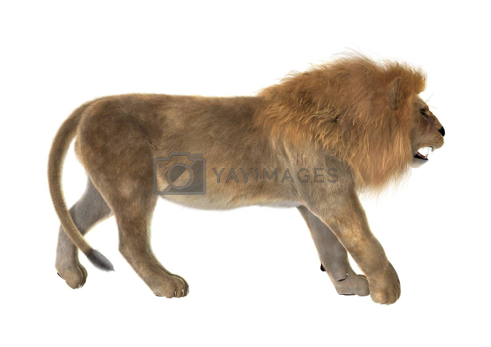 3D digital render of a male lion walking isolated on white background
