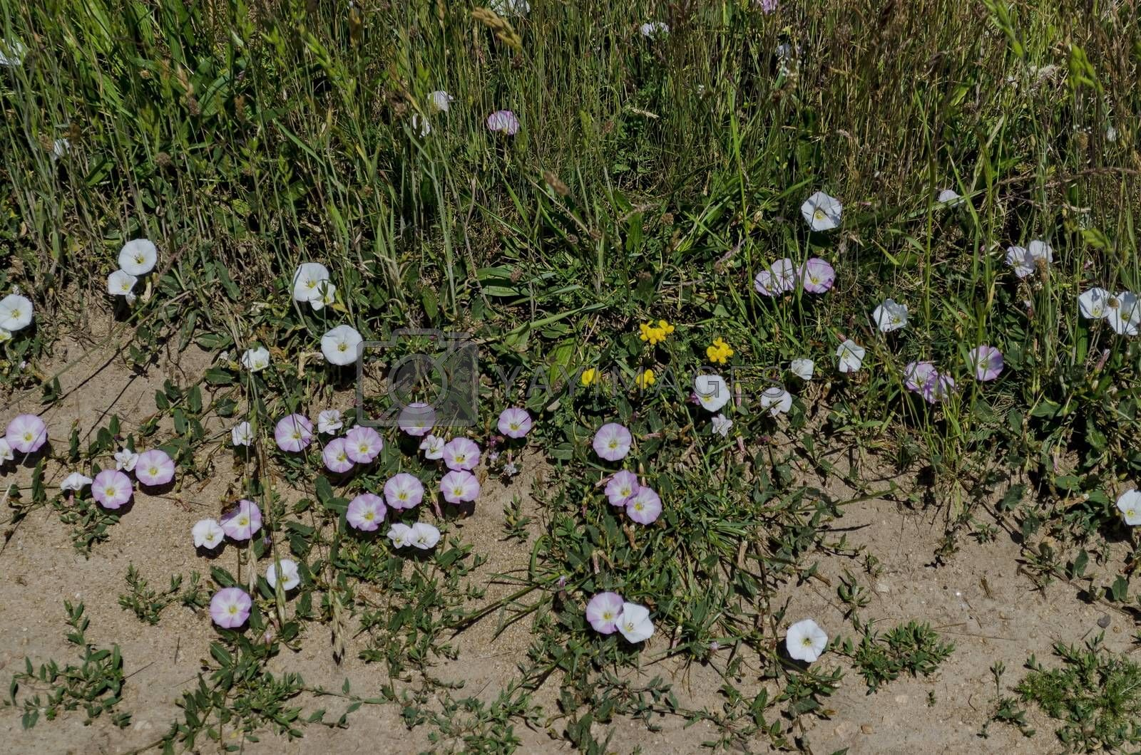 Delicate  wildflower white and rose bindweed (Convolvulus) on meadow, Plana mountain, Bulgaria
