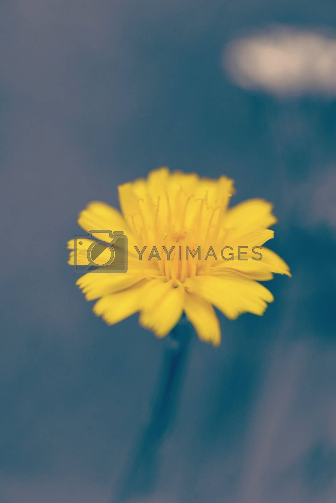 Bright yellow flower on blur background with vintage filter effect.
