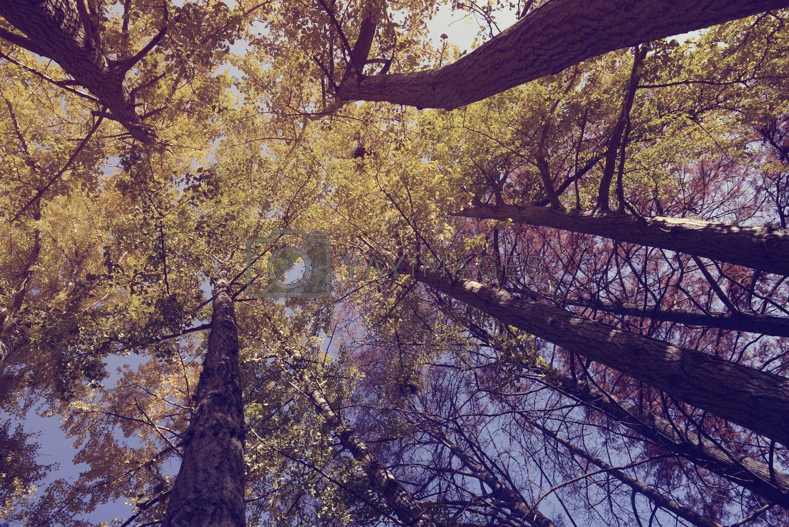 View from below of trees in the park with vintage style filter.