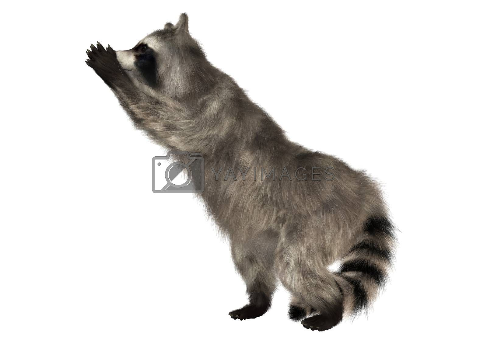 3D digital render of a raccoon iisolated on white background