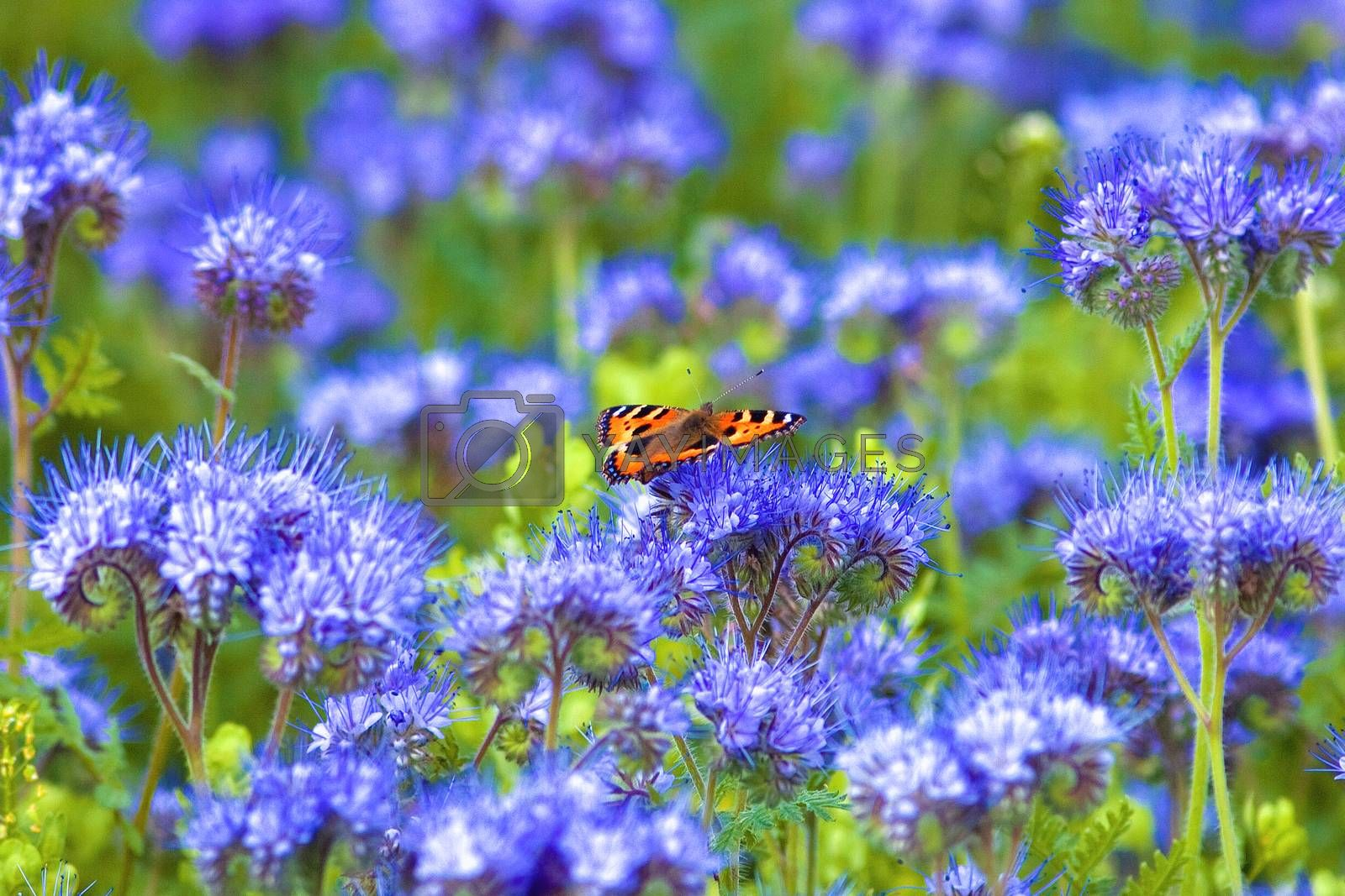 Royalty free image of Field of Phacelia by courtyardpix
