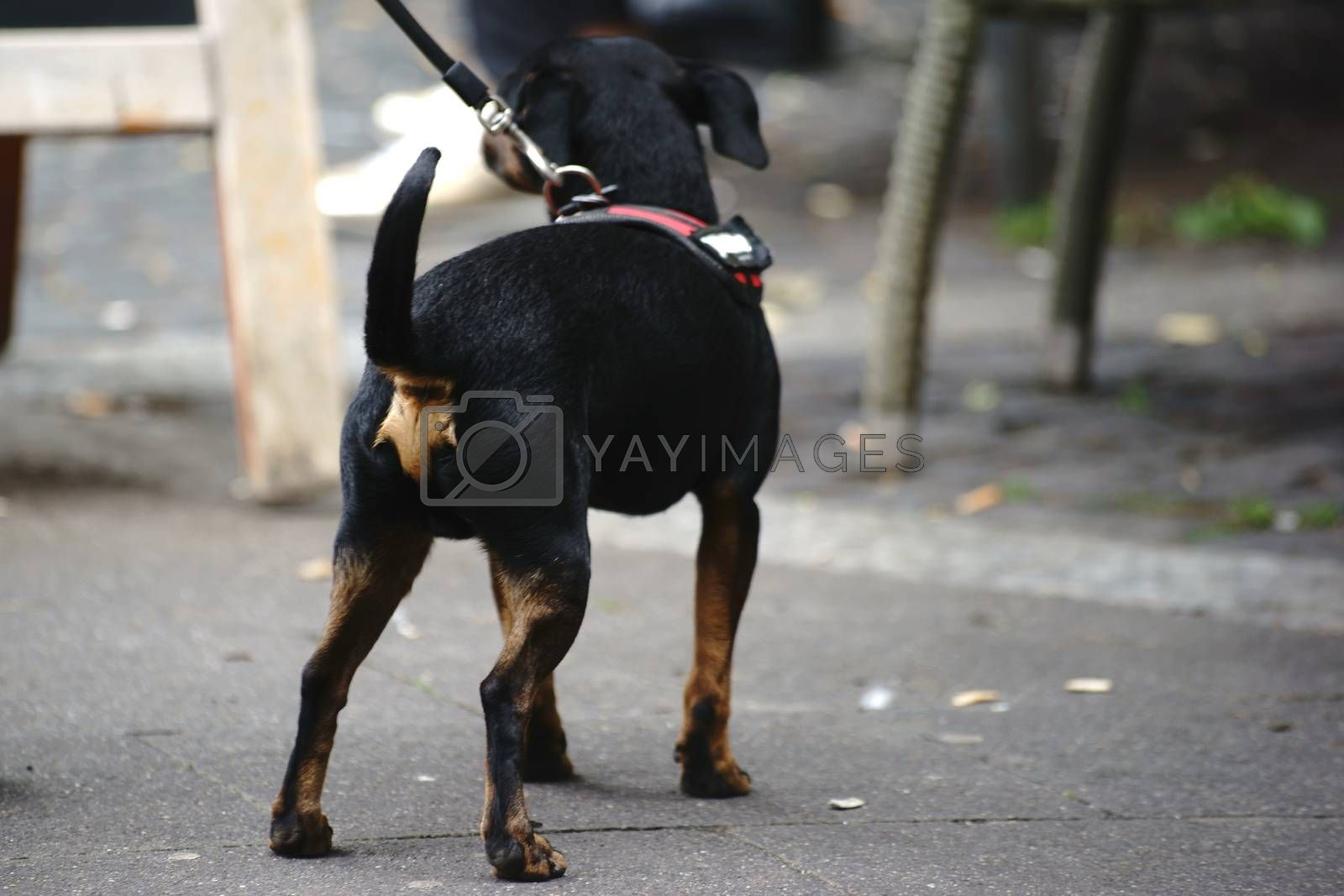 A young dog, German Pinscher, on a leash.