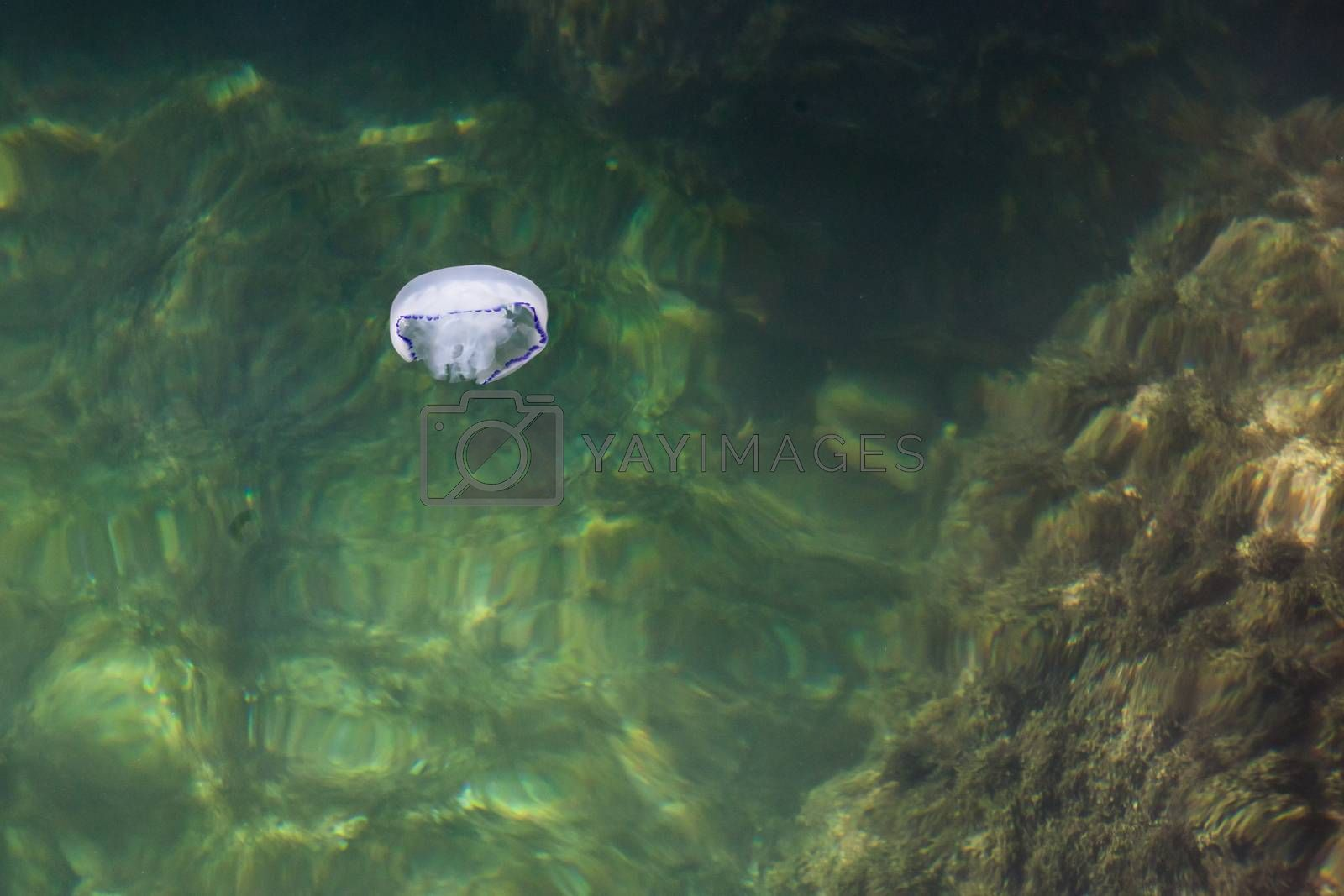 the beautiful white jellyfish floating in the sea