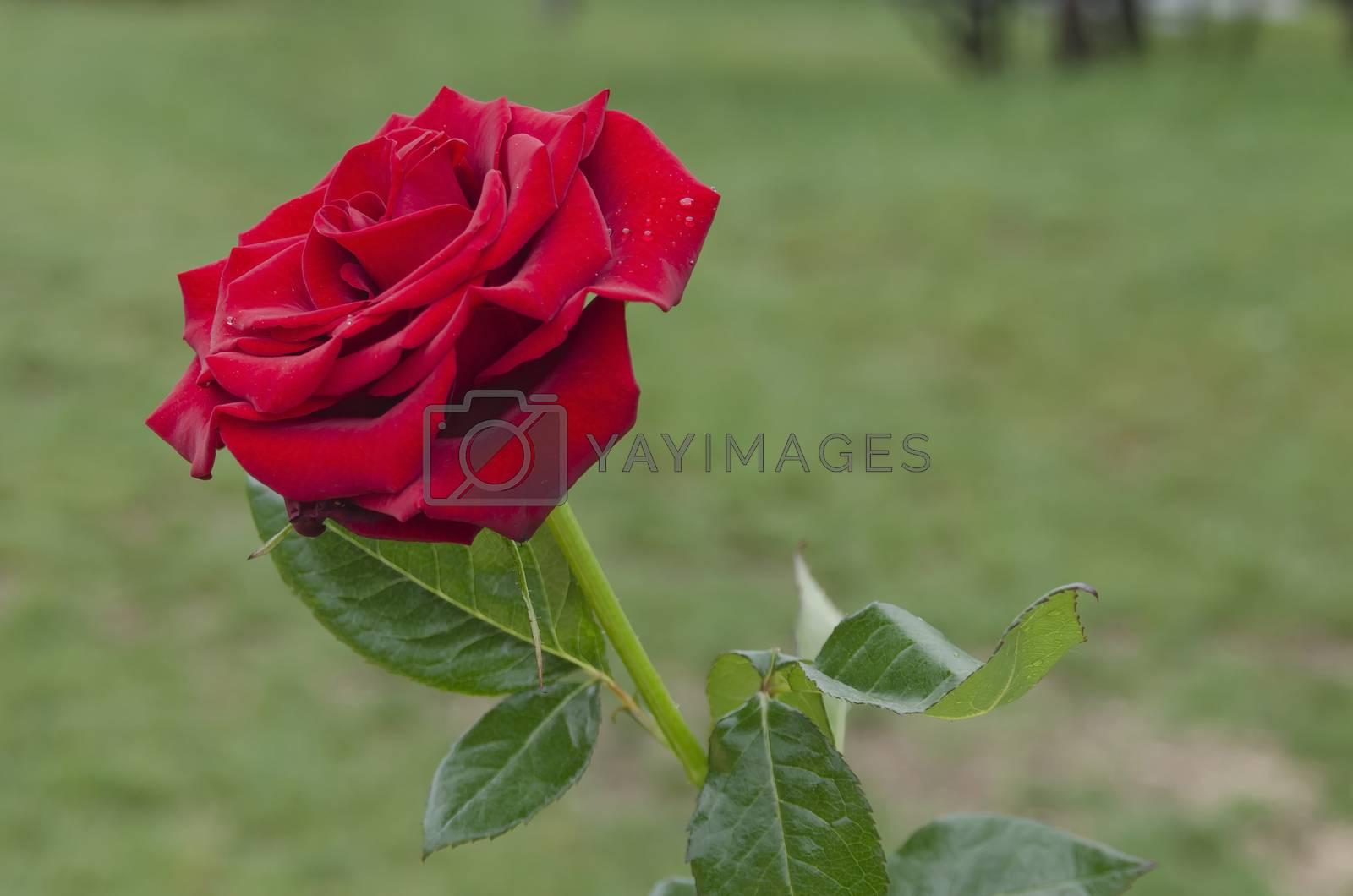 Twig of beauty fragrant velvety red rose
