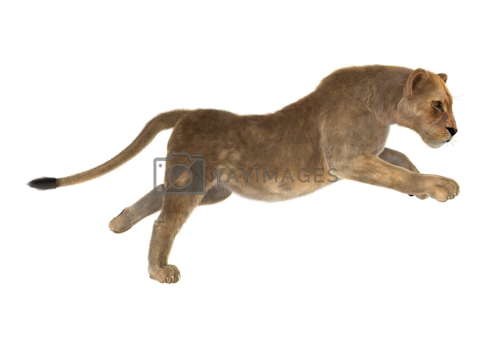 3D digital render of a female lion hunting isolated on white background