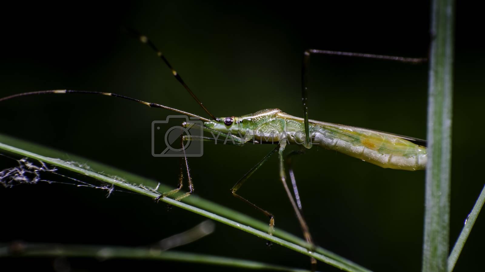 Grasshopper on grass branch, Macro shot