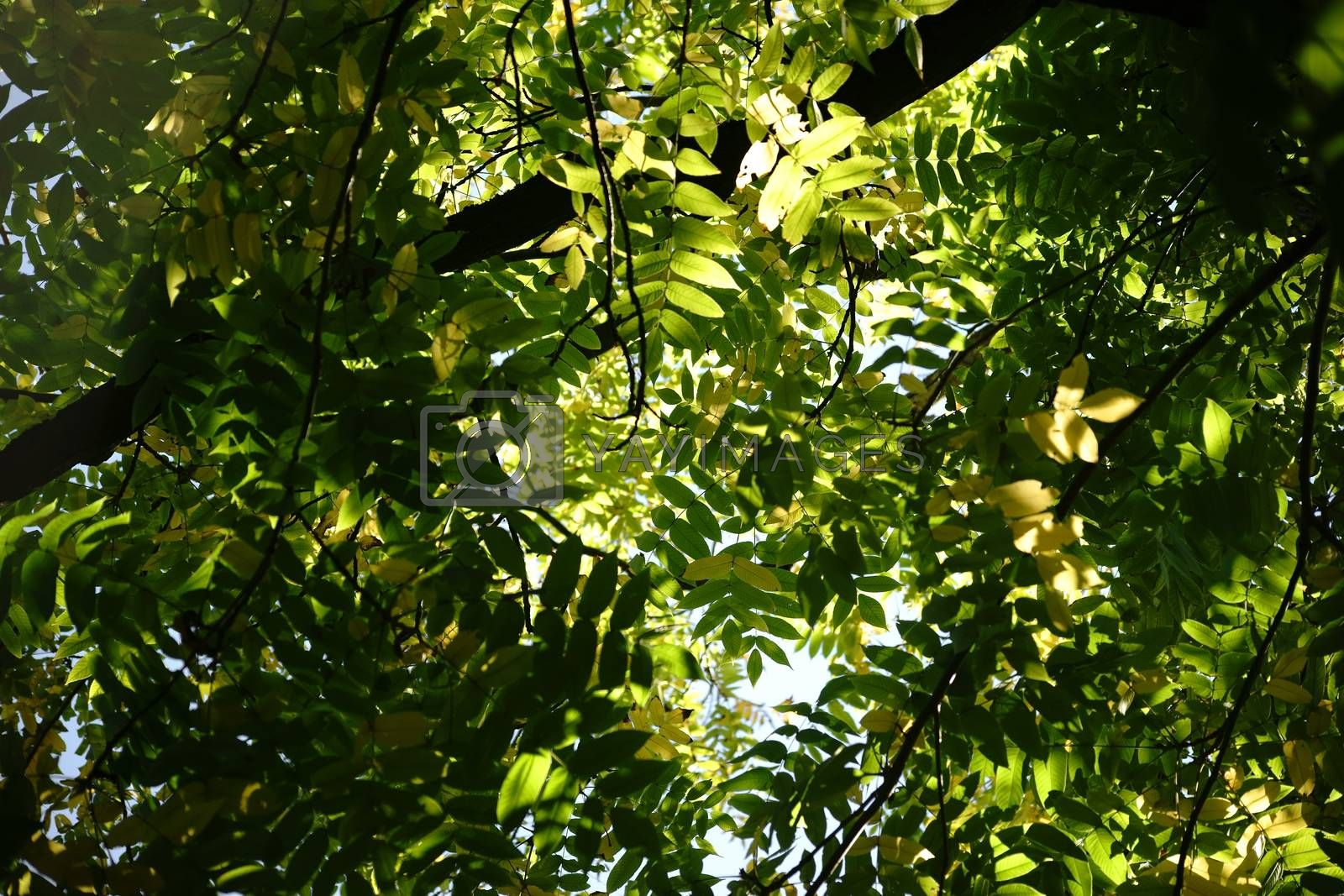The canopy and the treetop of a nut tree, Juglans cinerea.