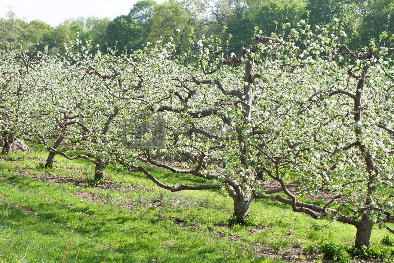 Spring Apple Orchard by graficallyminded