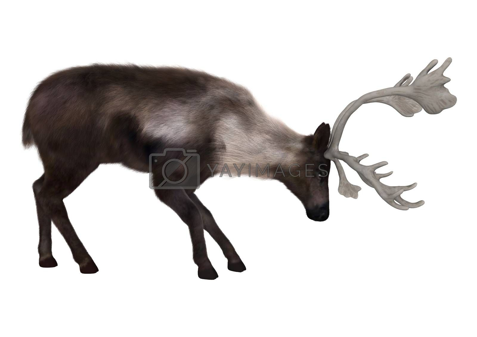3D digital render of a caribou isolated on white background