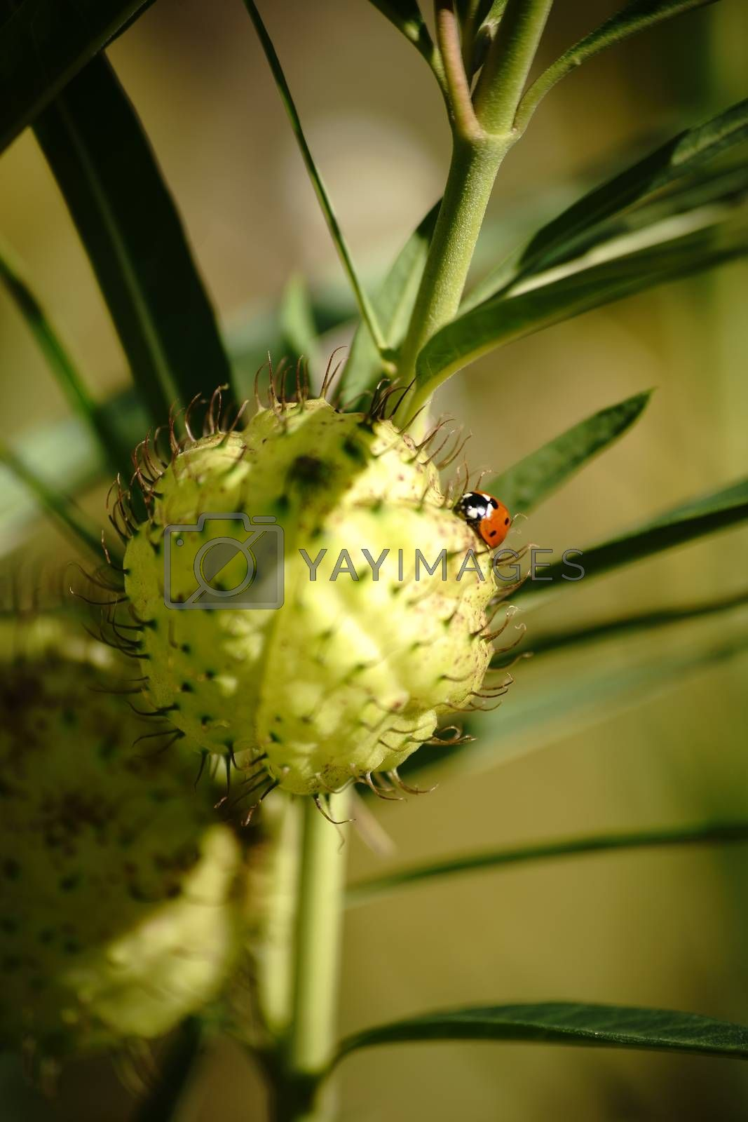 A ladybird sits on the round and thorny follicle of cotton Milkweed.