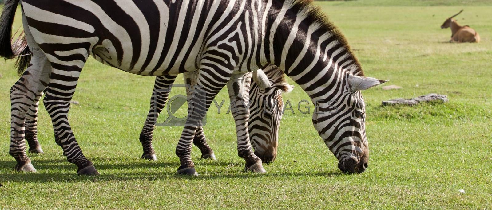 Two beautiful zebras on the grass field  by teo