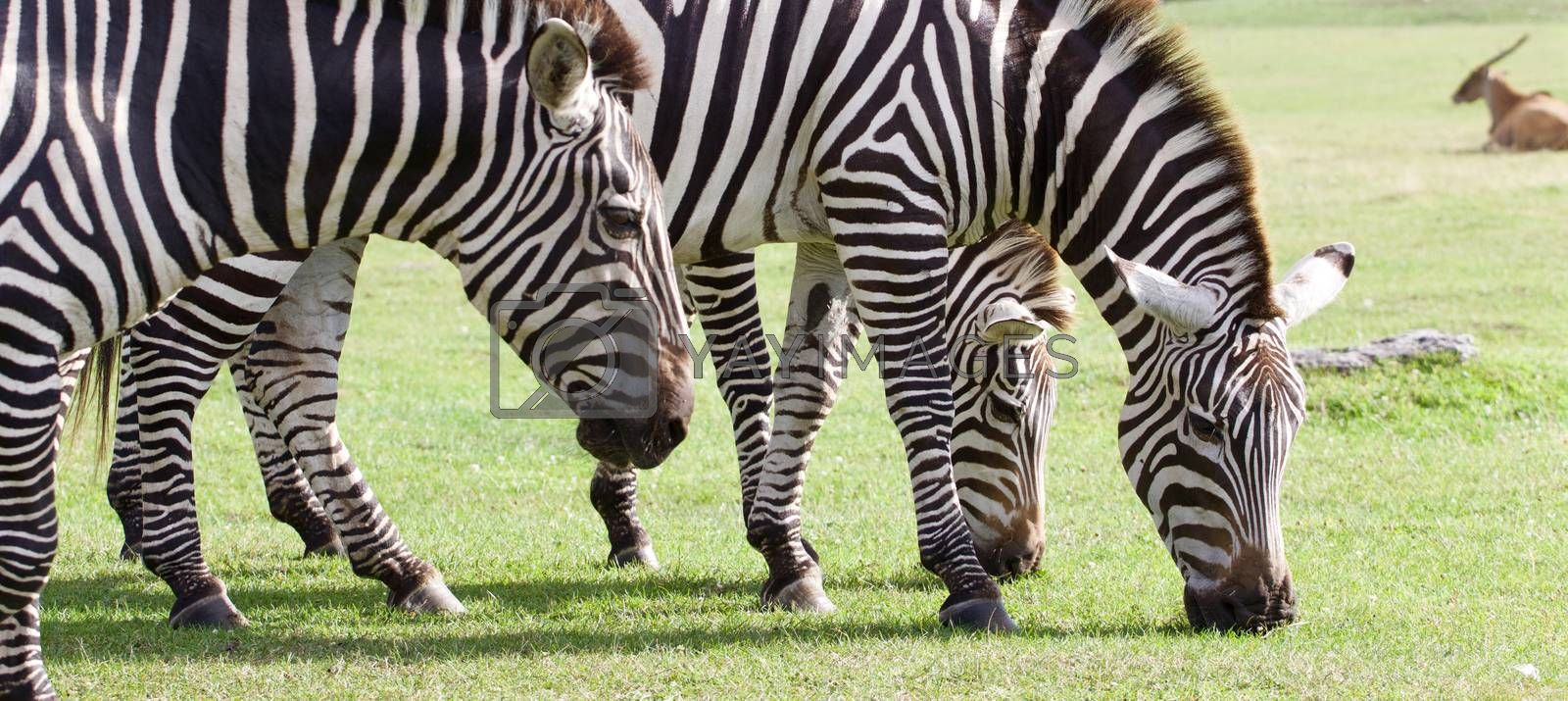 Three beautiful zebras together on the grass field