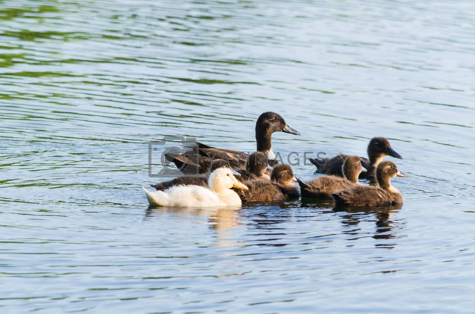Duck family by JFsPic